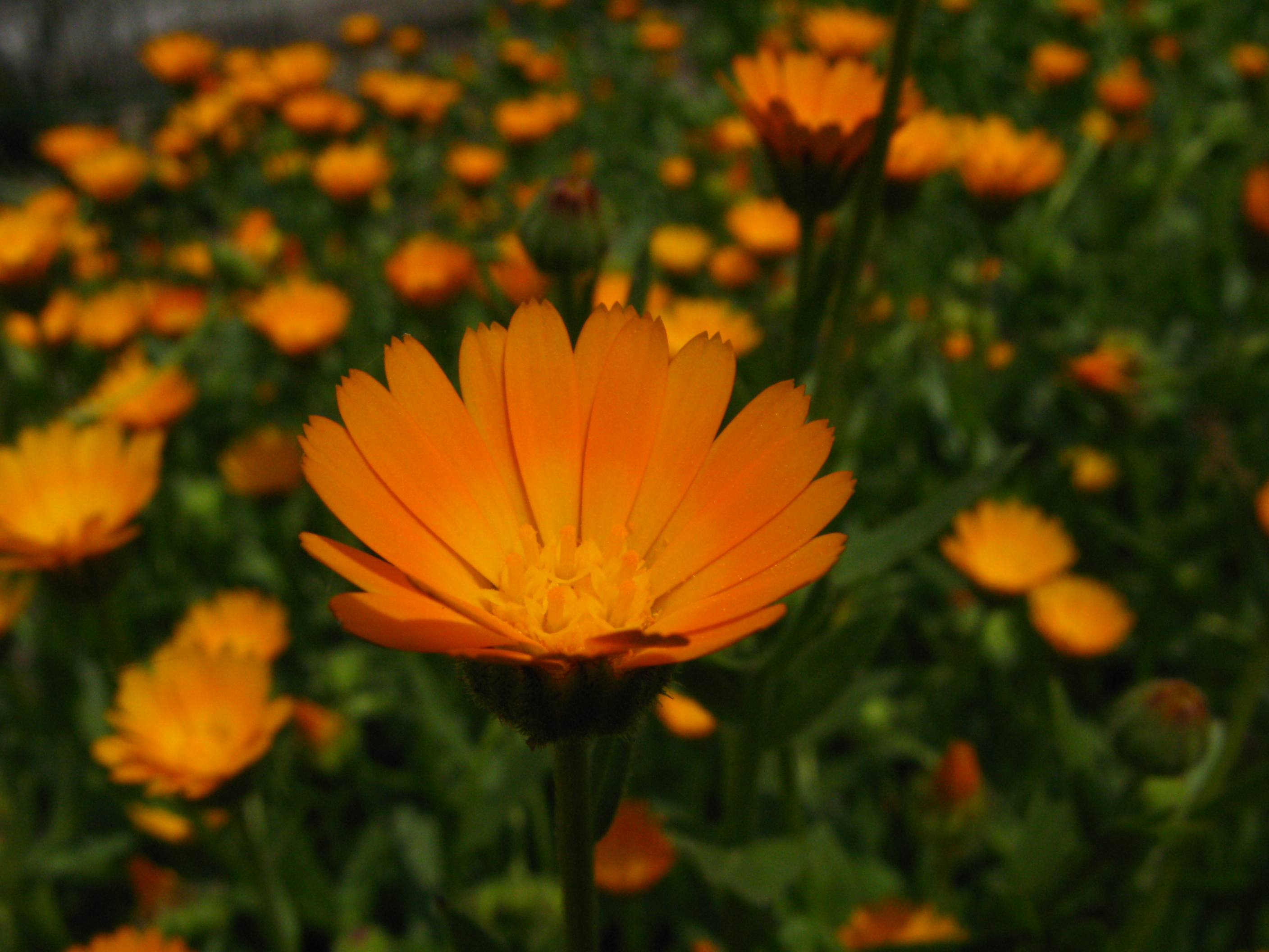 Free Photo Orange Flowers Pretty Spring Summer Free Download