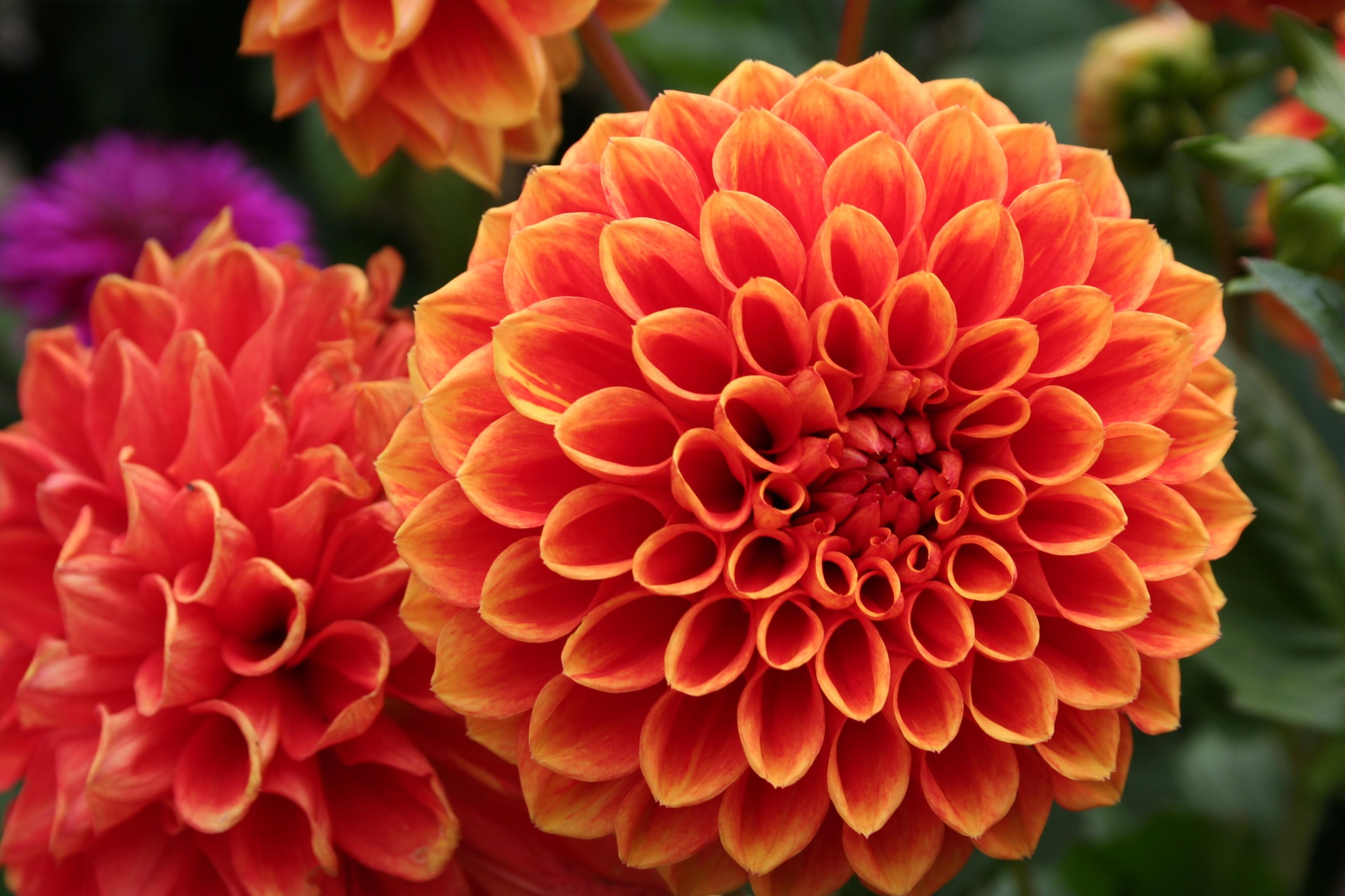 Free photo: Orange flowers - Yellow, Pink, Nature - Free ...
