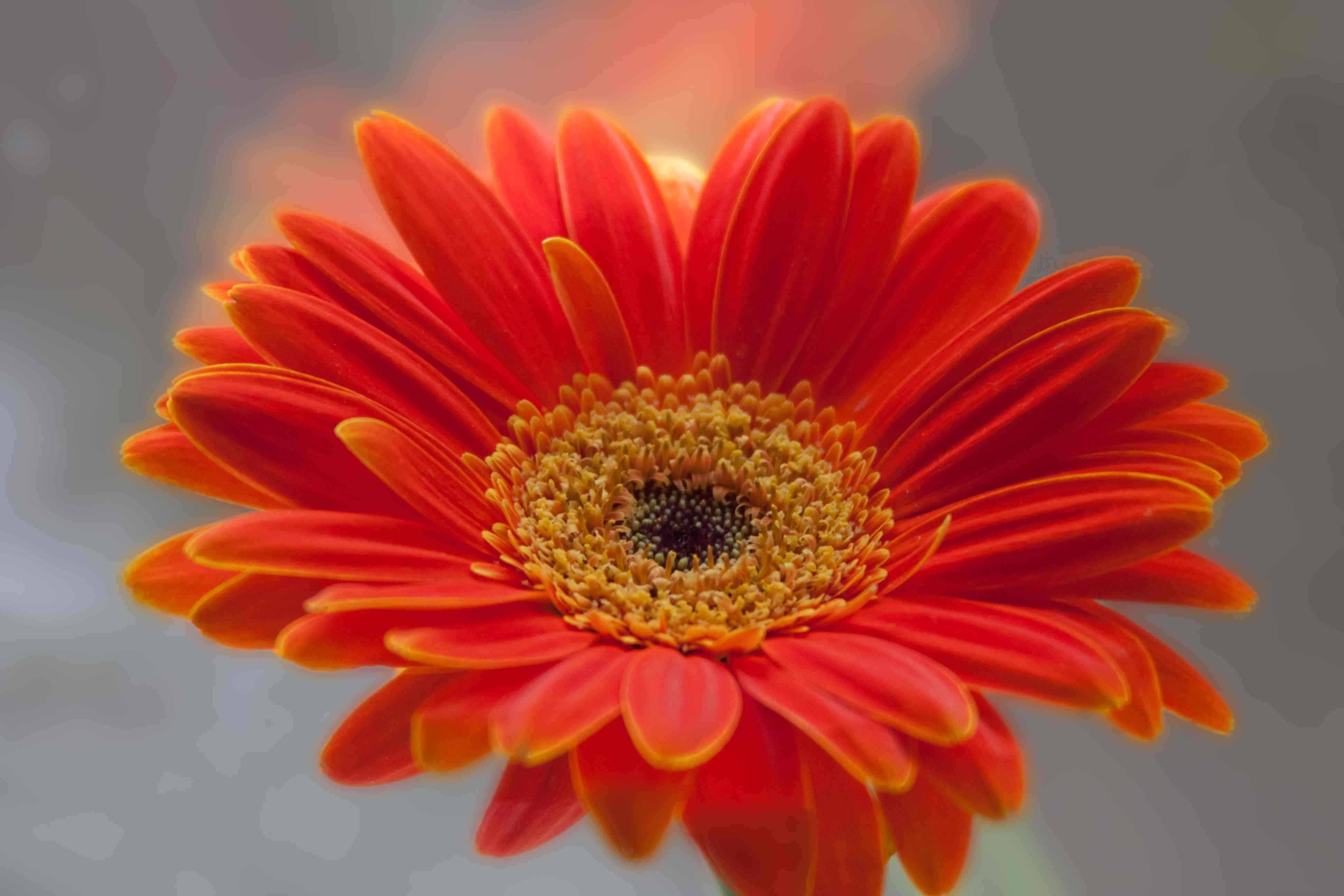 Orange Gerbera Daisies | Fables and Flora