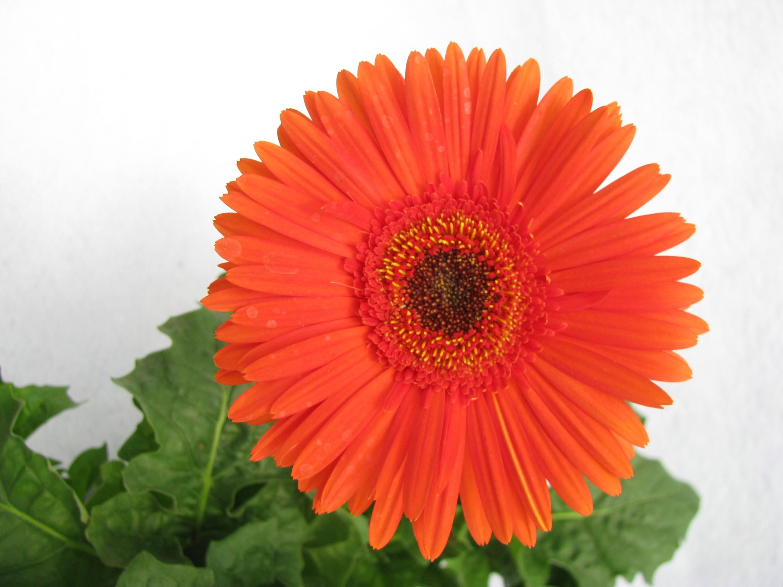 Buy Gerbera Orange Color Flowering Plant Online at best Prices in ...