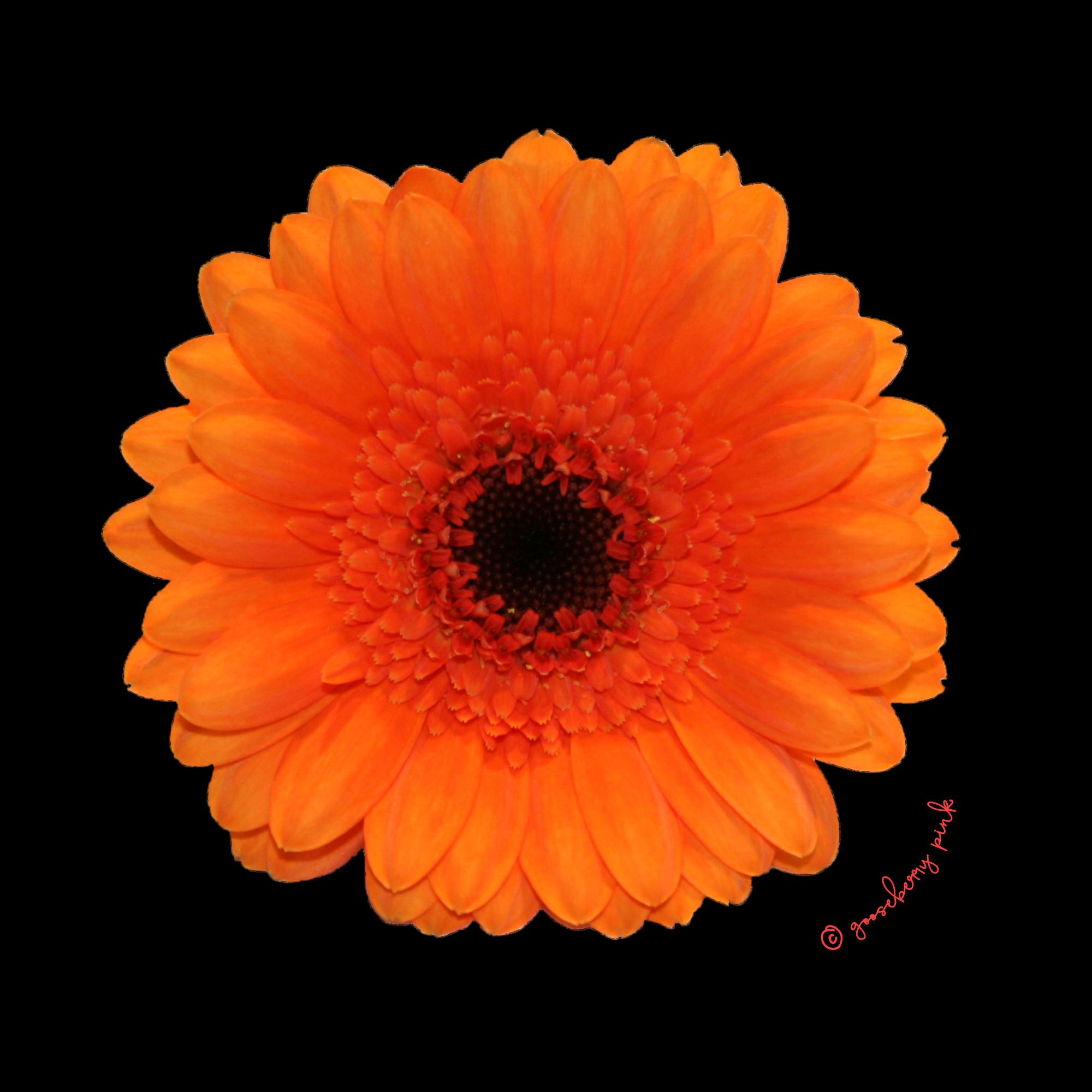 Orange Gerbera Relaxed Fit Top in Black - Gooseberry Pink