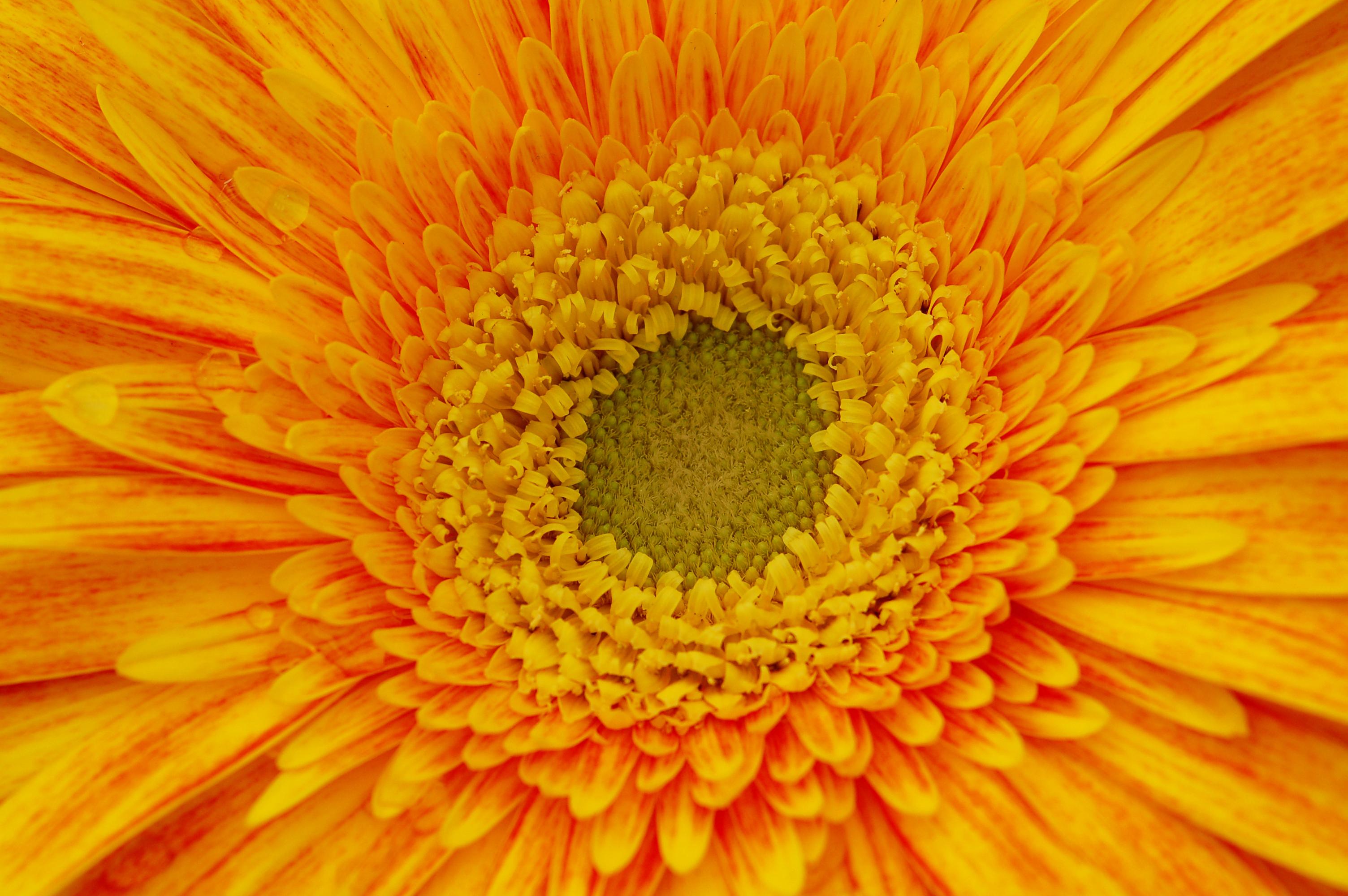 Yellow and Orange Gerbera Daisy Flower | Design Bundles