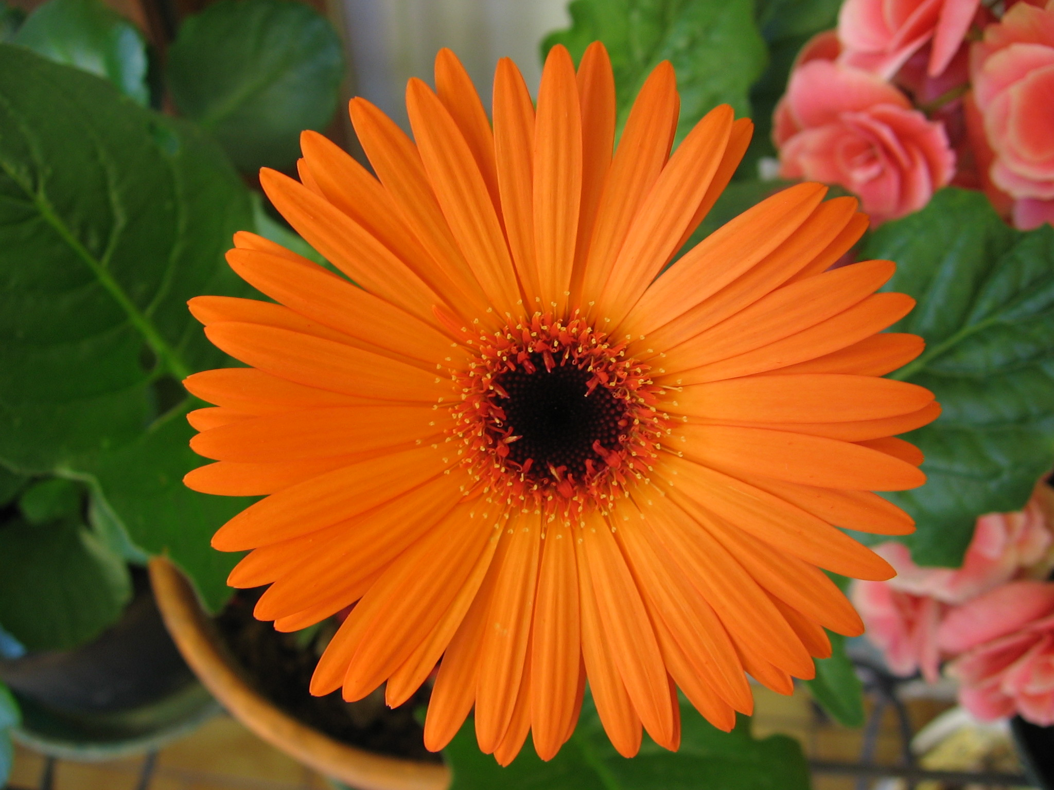 File:Orange gerbera.jpg - Wikimedia Commons
