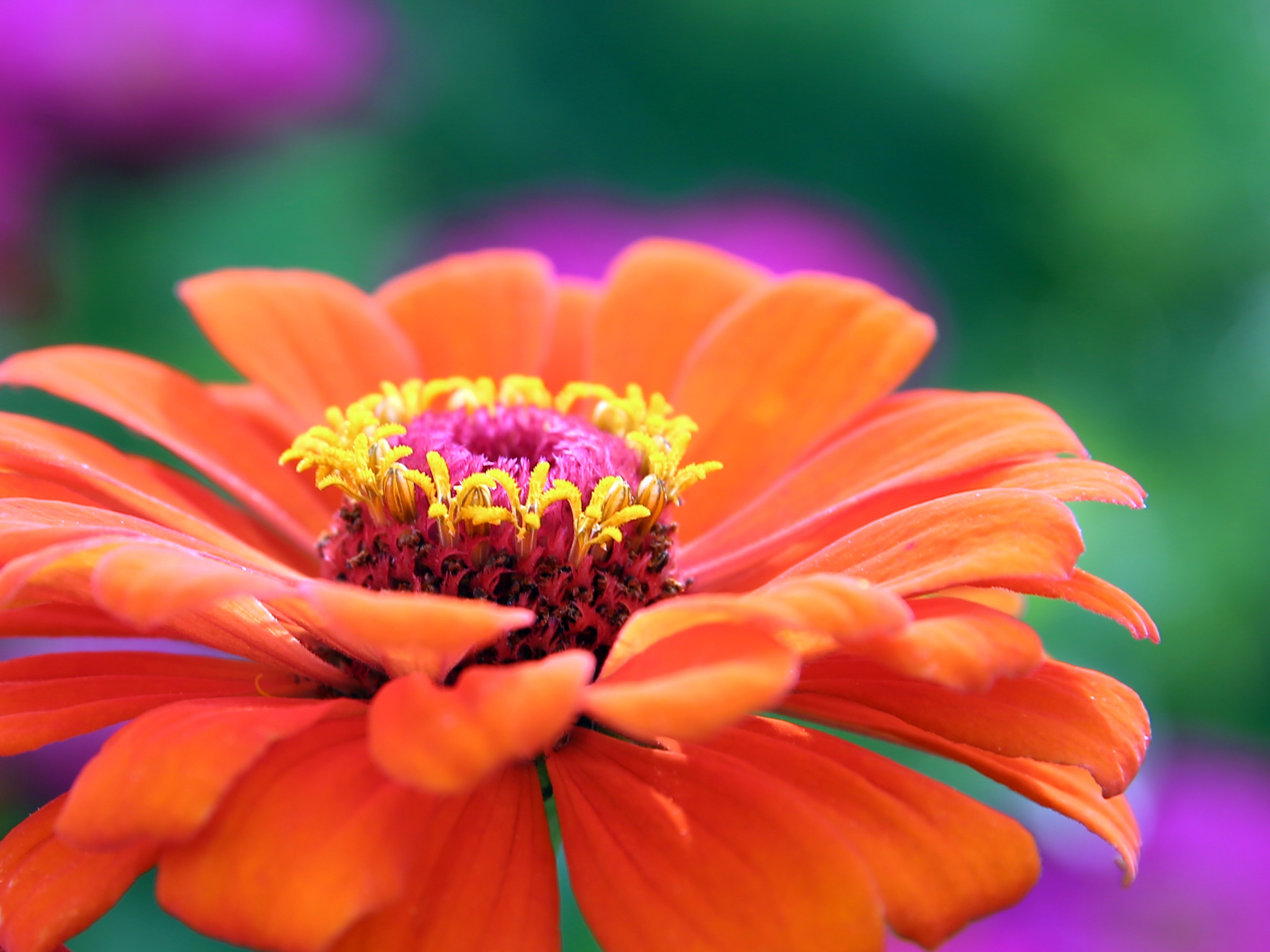Orange gerbera flower photo