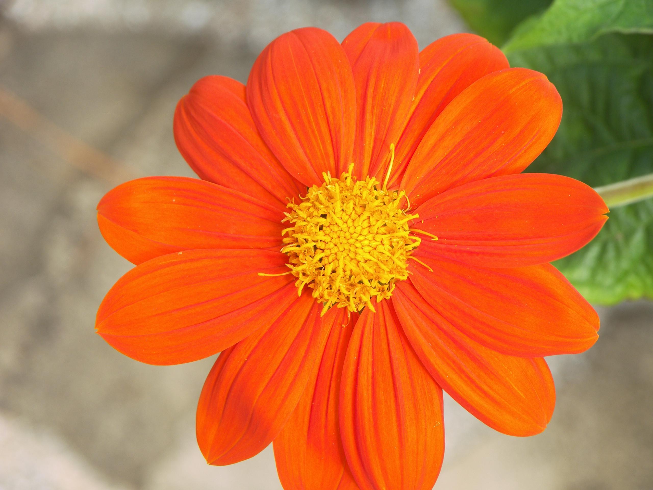 Free Photo Orange Petal Flower Orange Growth Garden Free