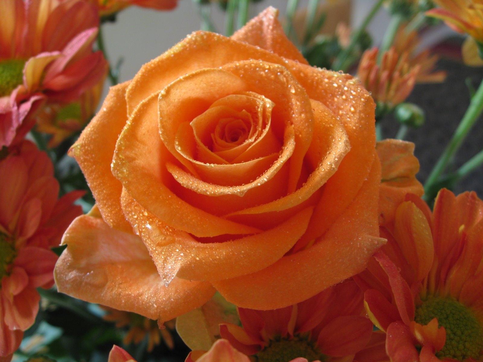 Free Photo Orange Rose Plant Pretty Red Free Download Jooinn