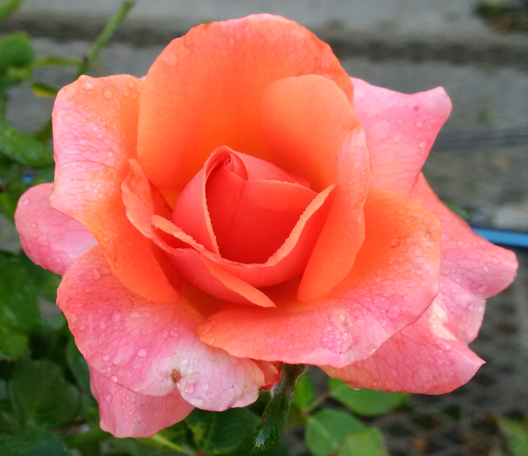 Free Photo Orange Rose Pedals Plant Pretty Free Download Jooinn