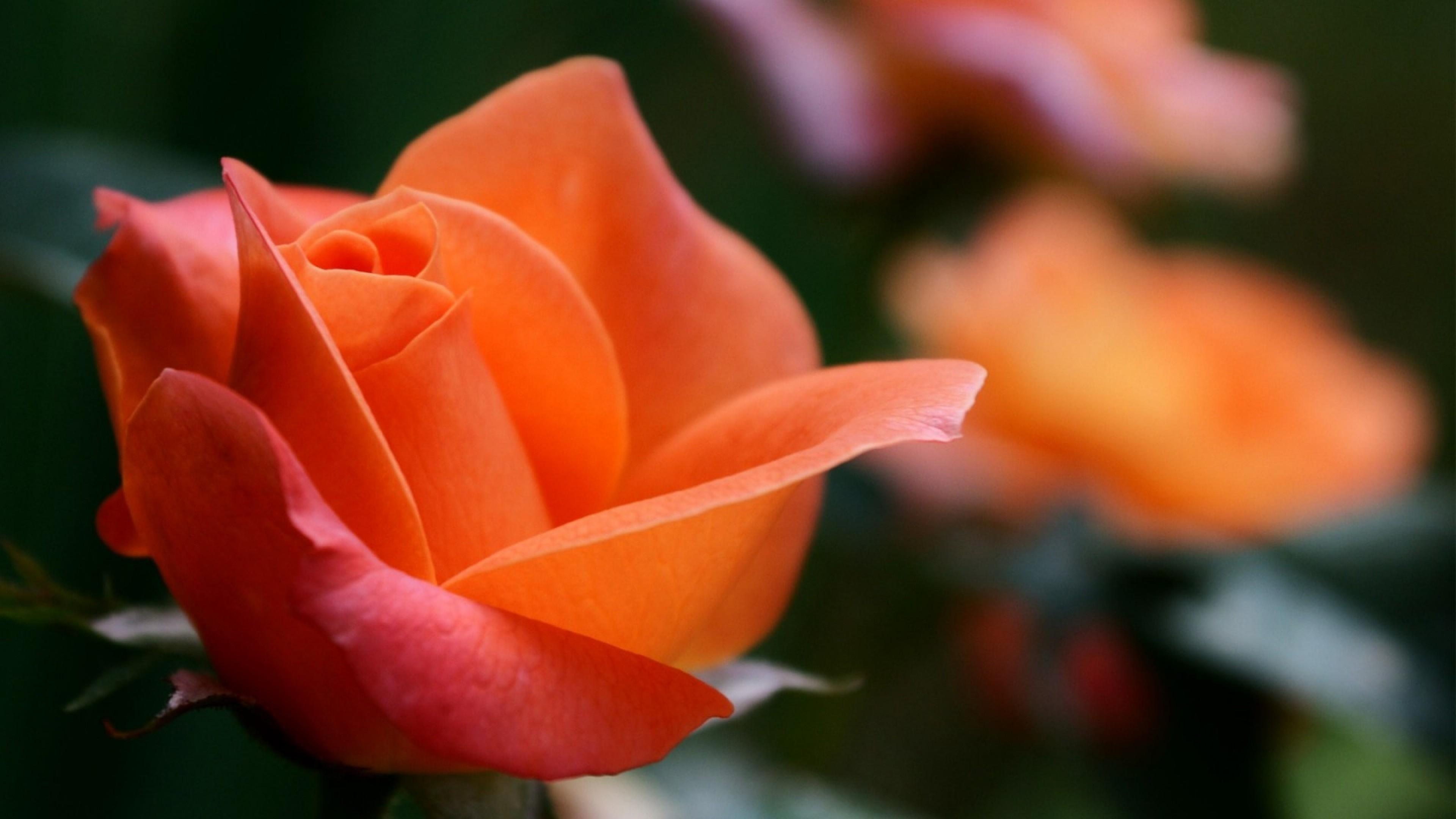 Free photo orange rose pedals plant pretty non commercial orange rose mightylinksfo