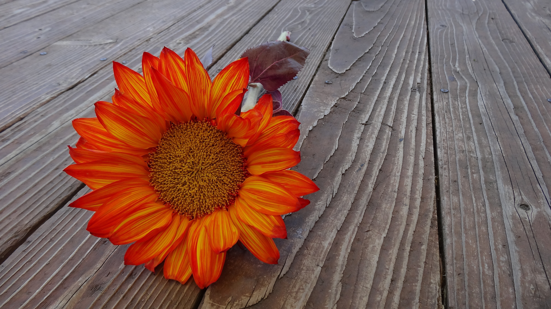 Orange sunflower photo