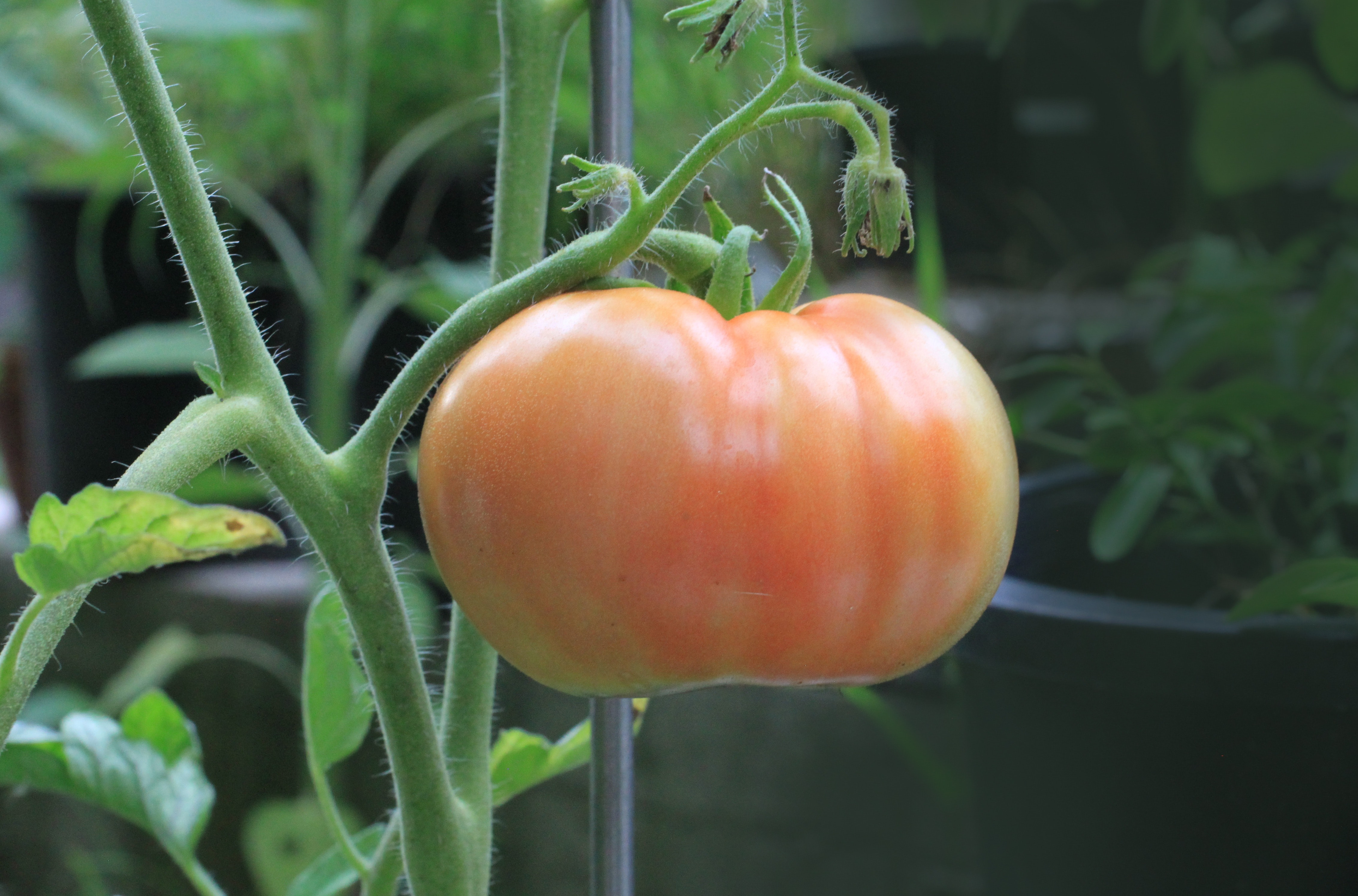 Orange tomato photo