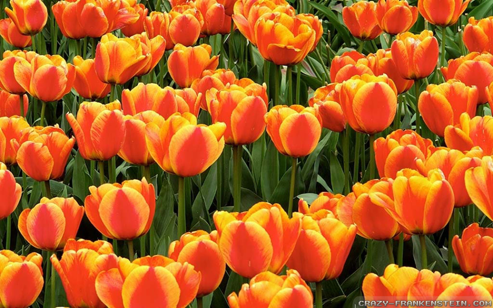 Orange Tulips wallpapers - Crazy Frankenstein