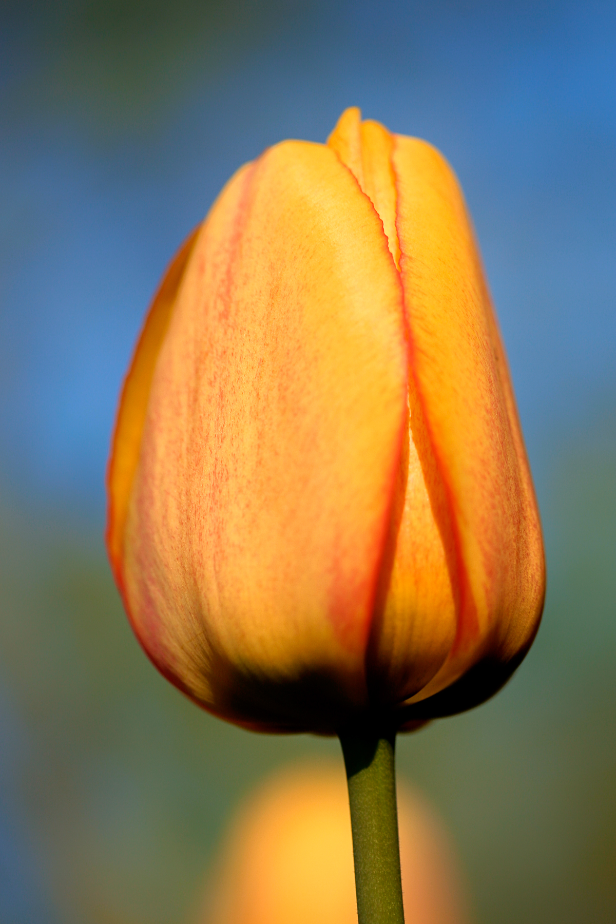 Orange Tulip, Beautiful, Resource, Nature, Orange, HQ Photo