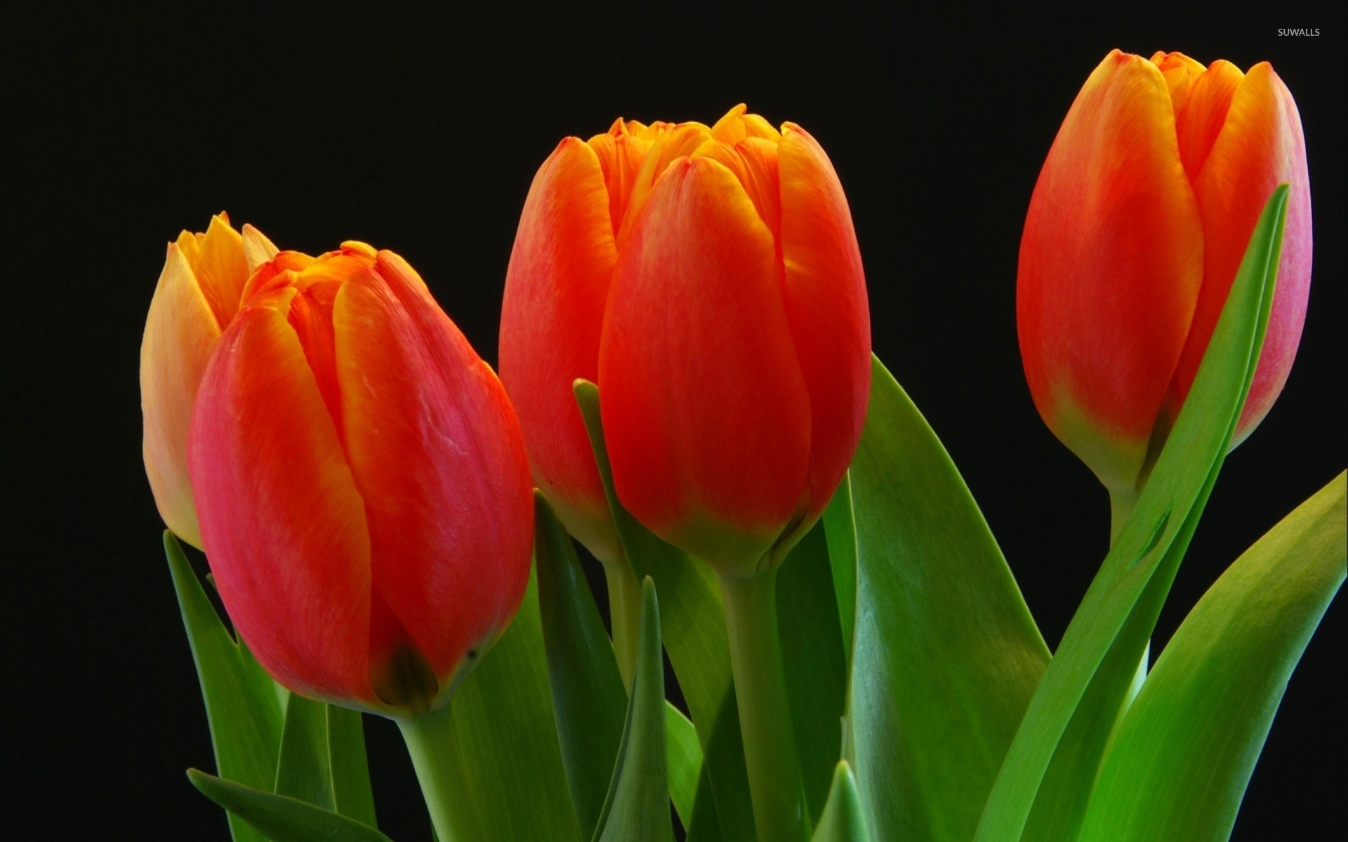 Orange tulips [4] wallpaper - Flower wallpapers - #40141