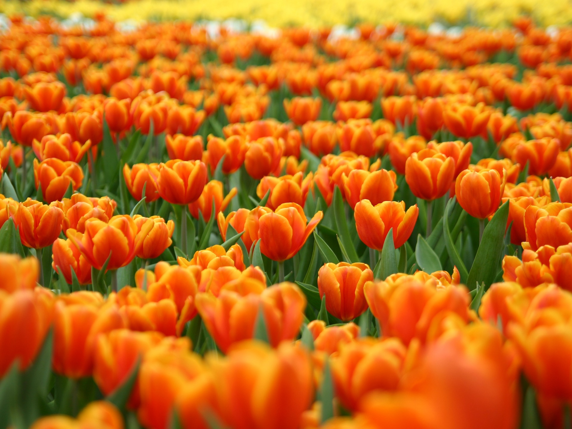 Orange Tulips Wallpaper Flowers Nature Wallpapers in jpg format for ...
