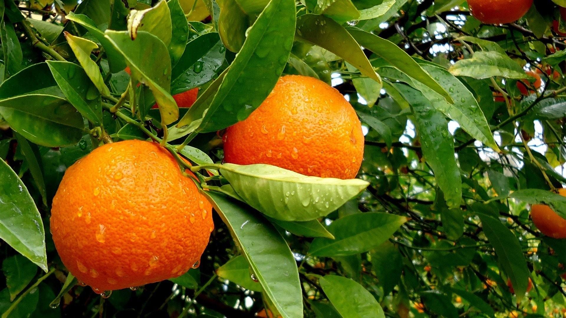 Oranges on leaves photo