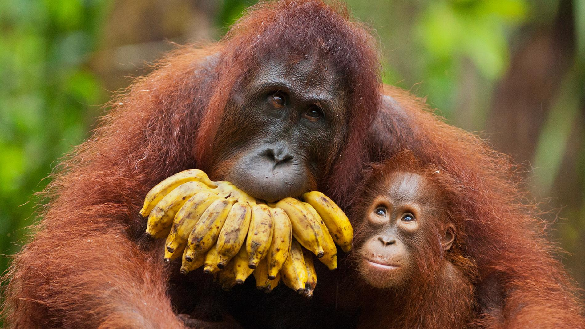 ww-primates-orangutans.ngsversion.1465852517221.adapt.1900.1.jpg