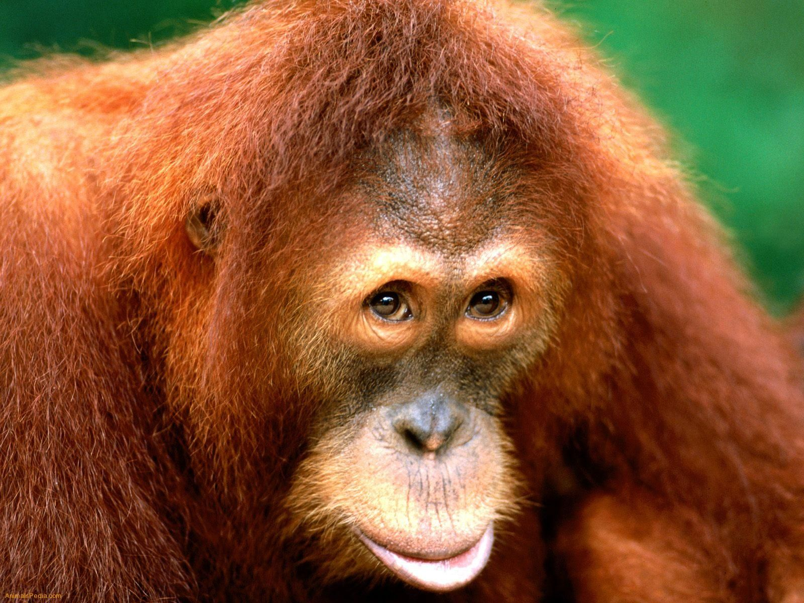 Sumartran Orangutan | Monkies and Gorilla's | Pinterest | Orangutan ...
