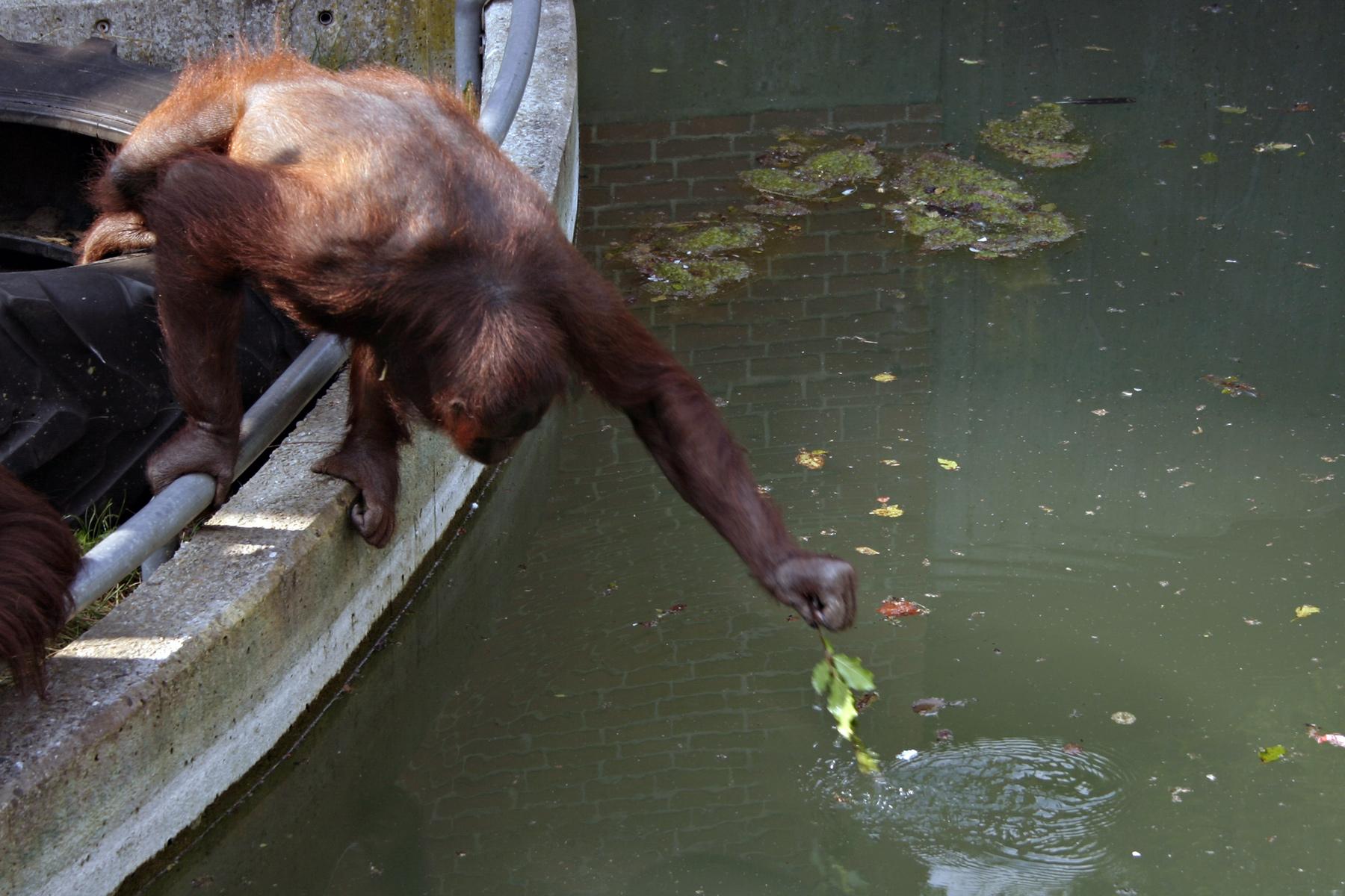 Orangutan stretching for food, Ape, Monkey, Orangutan, Stretching, HQ Photo