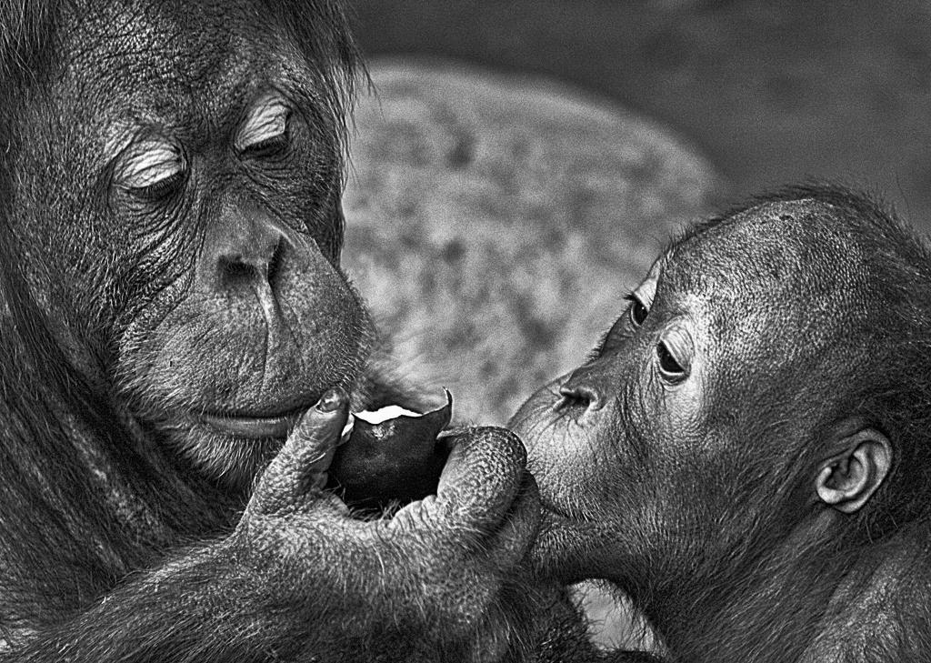 Orangutans sharing an apple photo