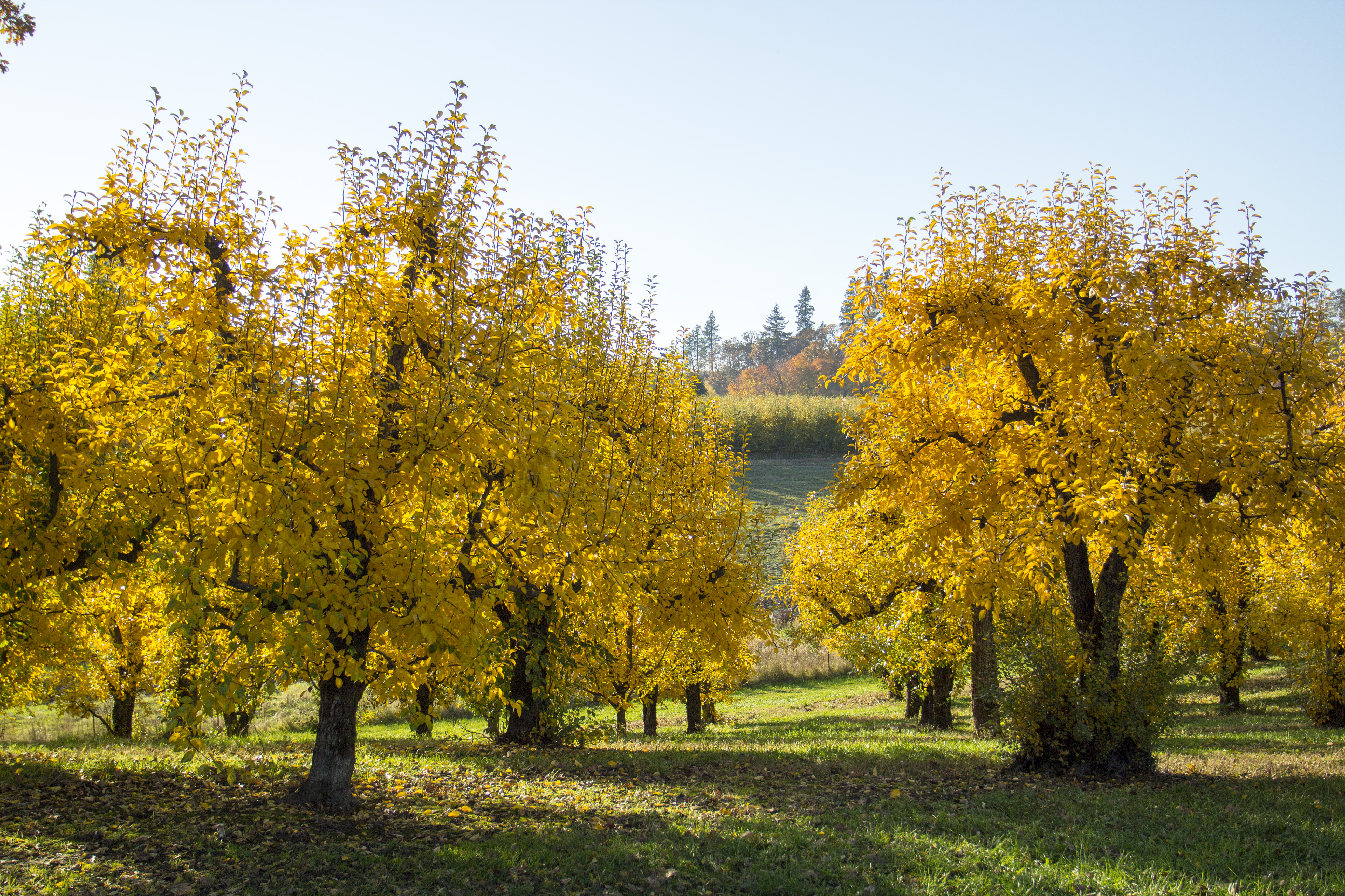 Orchard trees in autumn, oregon photo