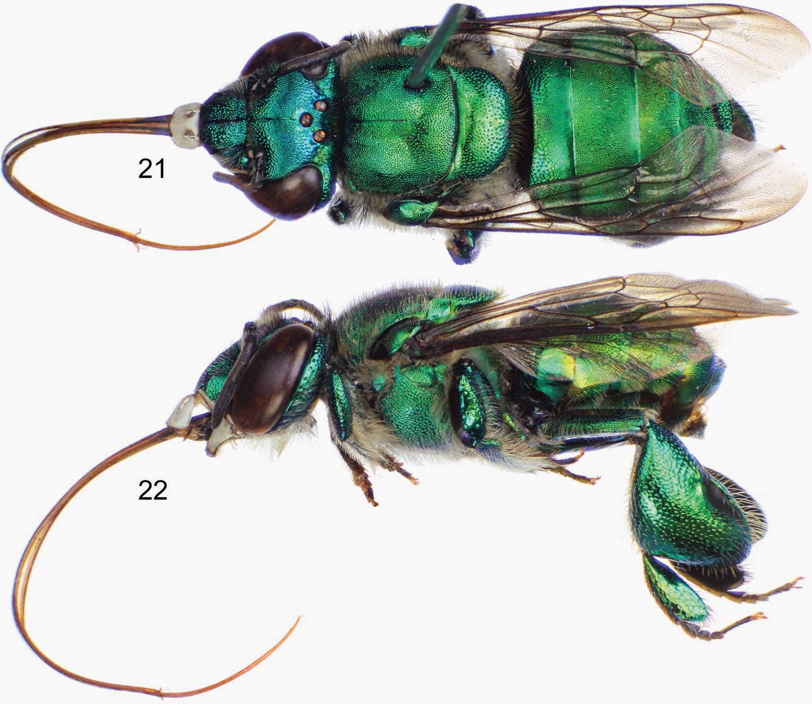 Sciency Thoughts: Two new species of Orchid Bee from Columbia and ...