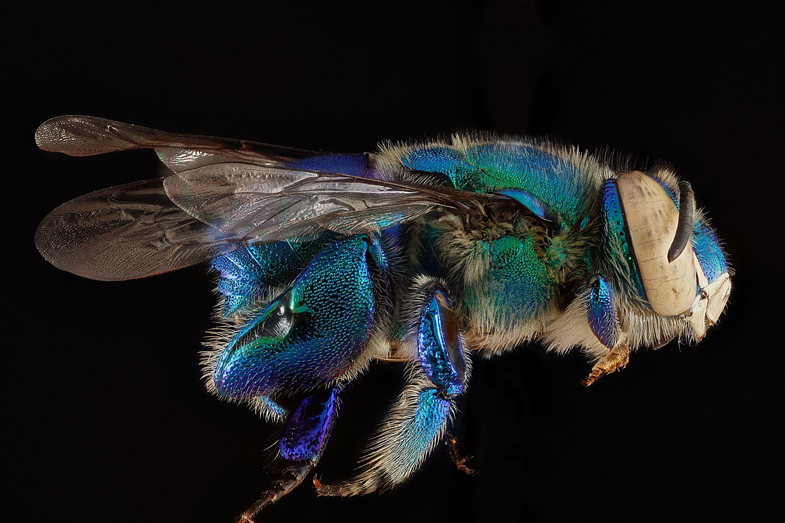 Orchid Bee, Animal, Bee, Fly, Insect, HQ Photo