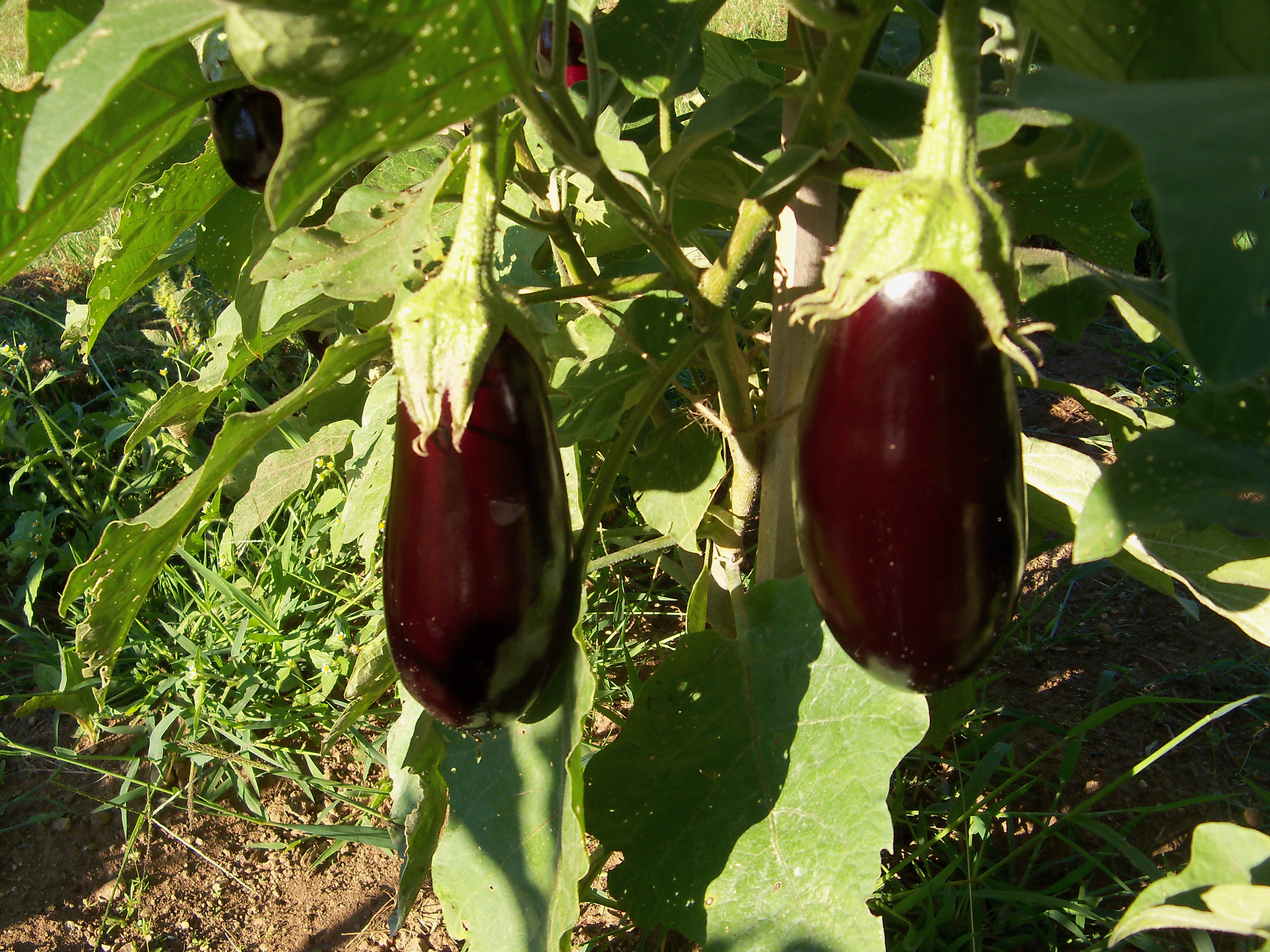 Organic eggplants photo