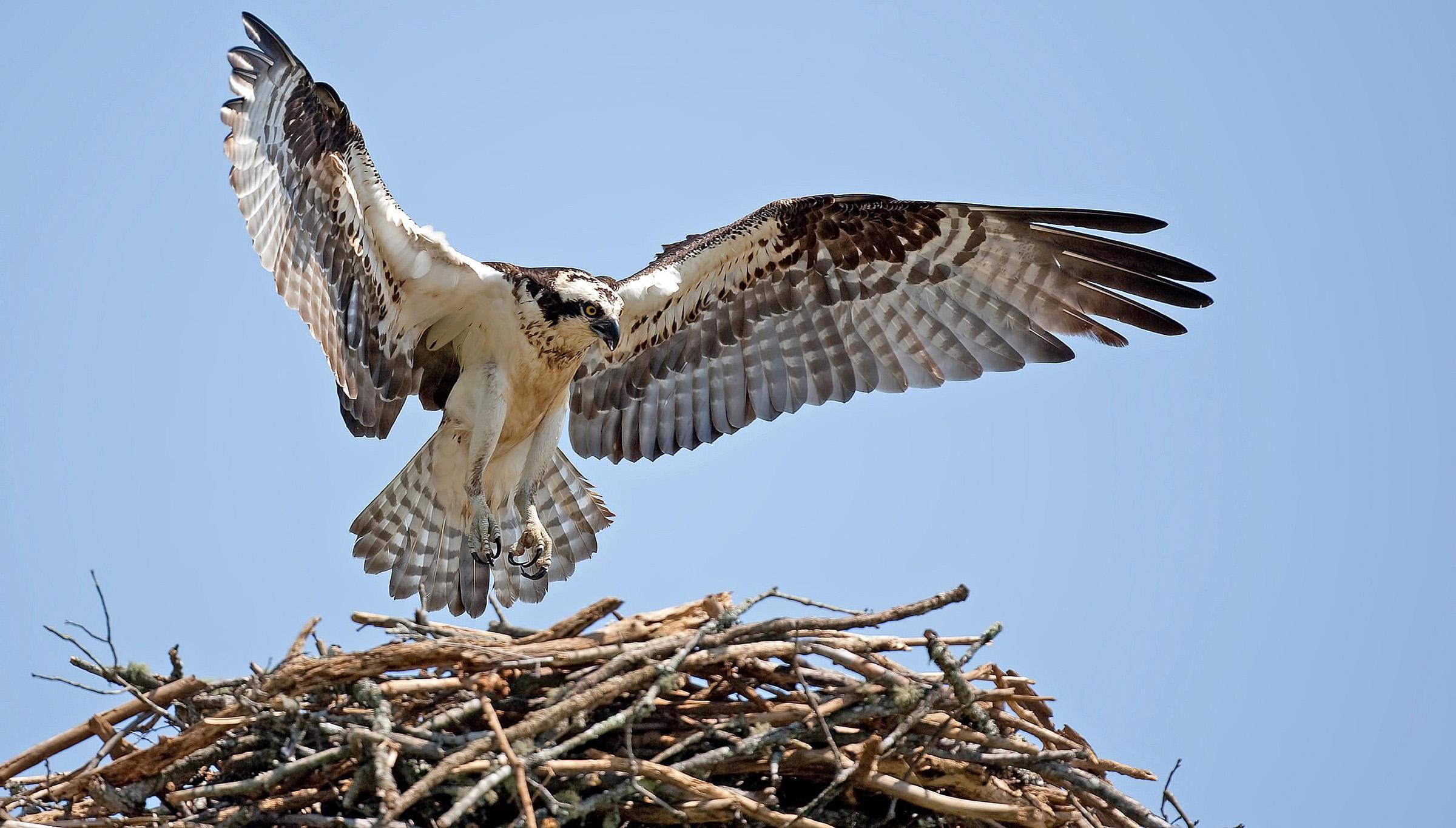 Osprey | Audubon Field Guide