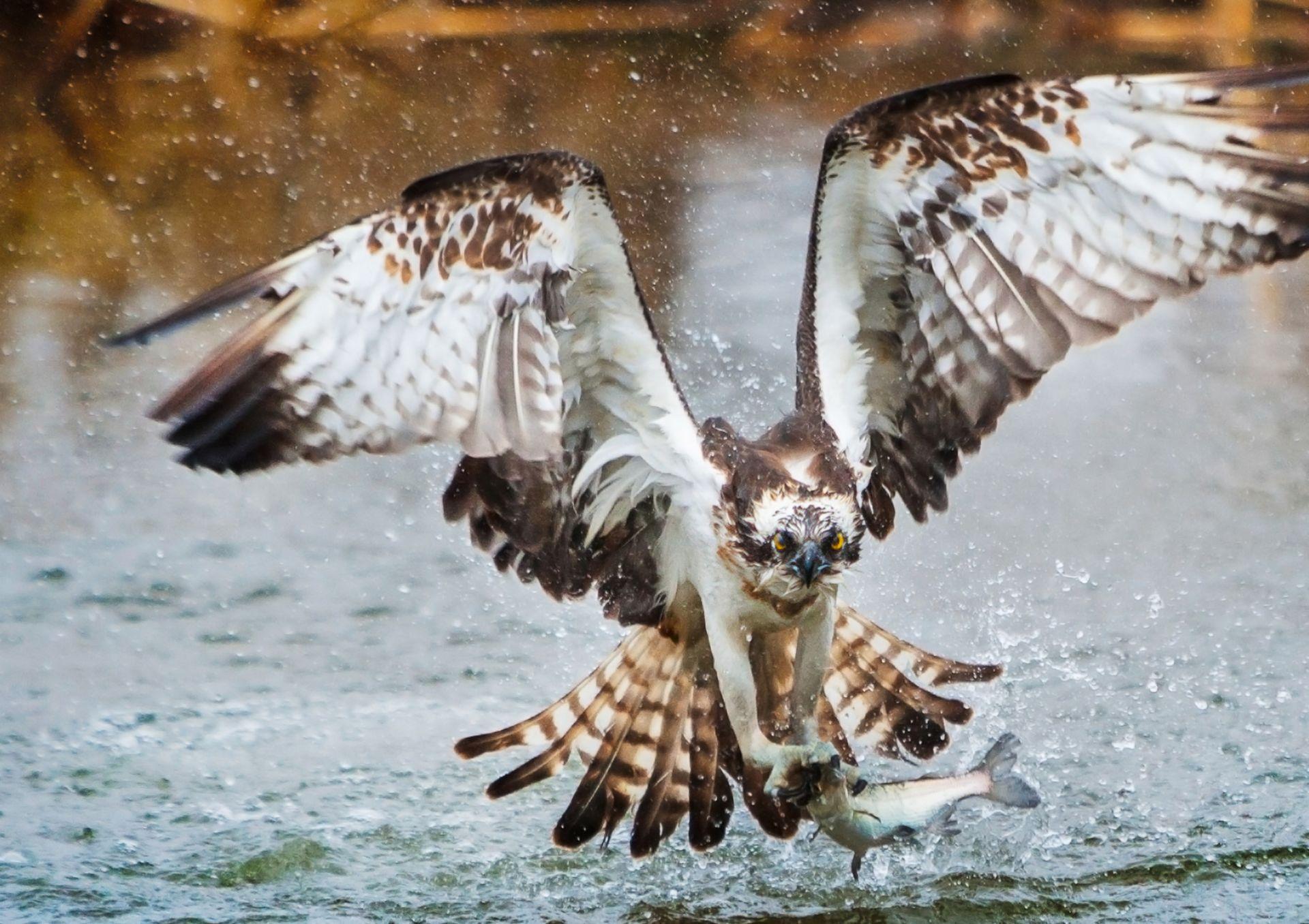 Osprey Birds | Osprey Facts for Kids| DK Find Out