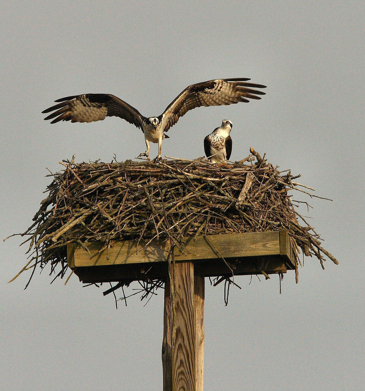 Osprey no longer a threatened species in Pennsylvania - The Morning Call