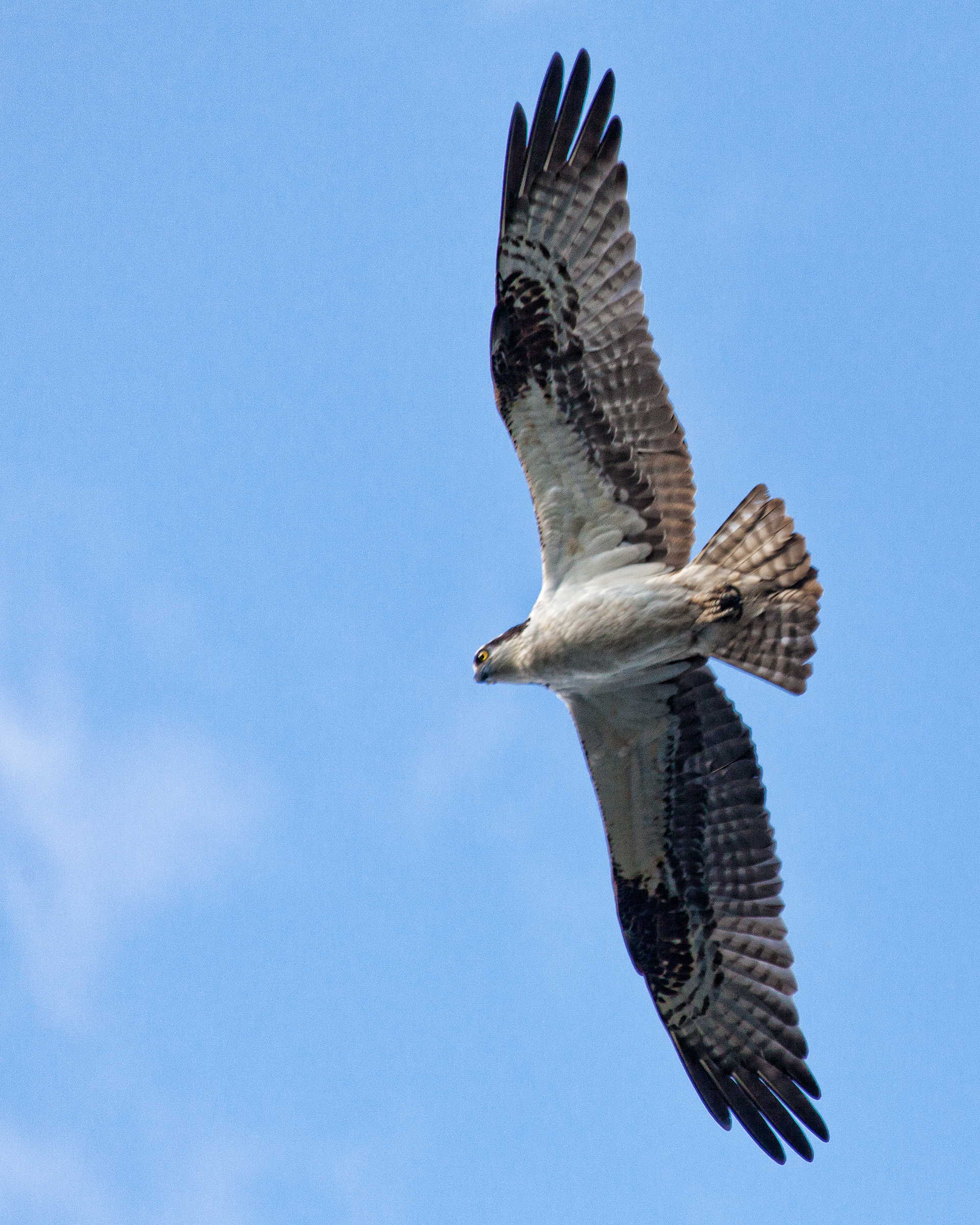 Osprey, Animal, Pandion, Holding, Hunter, HQ Photo