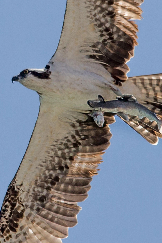 Osprey photo