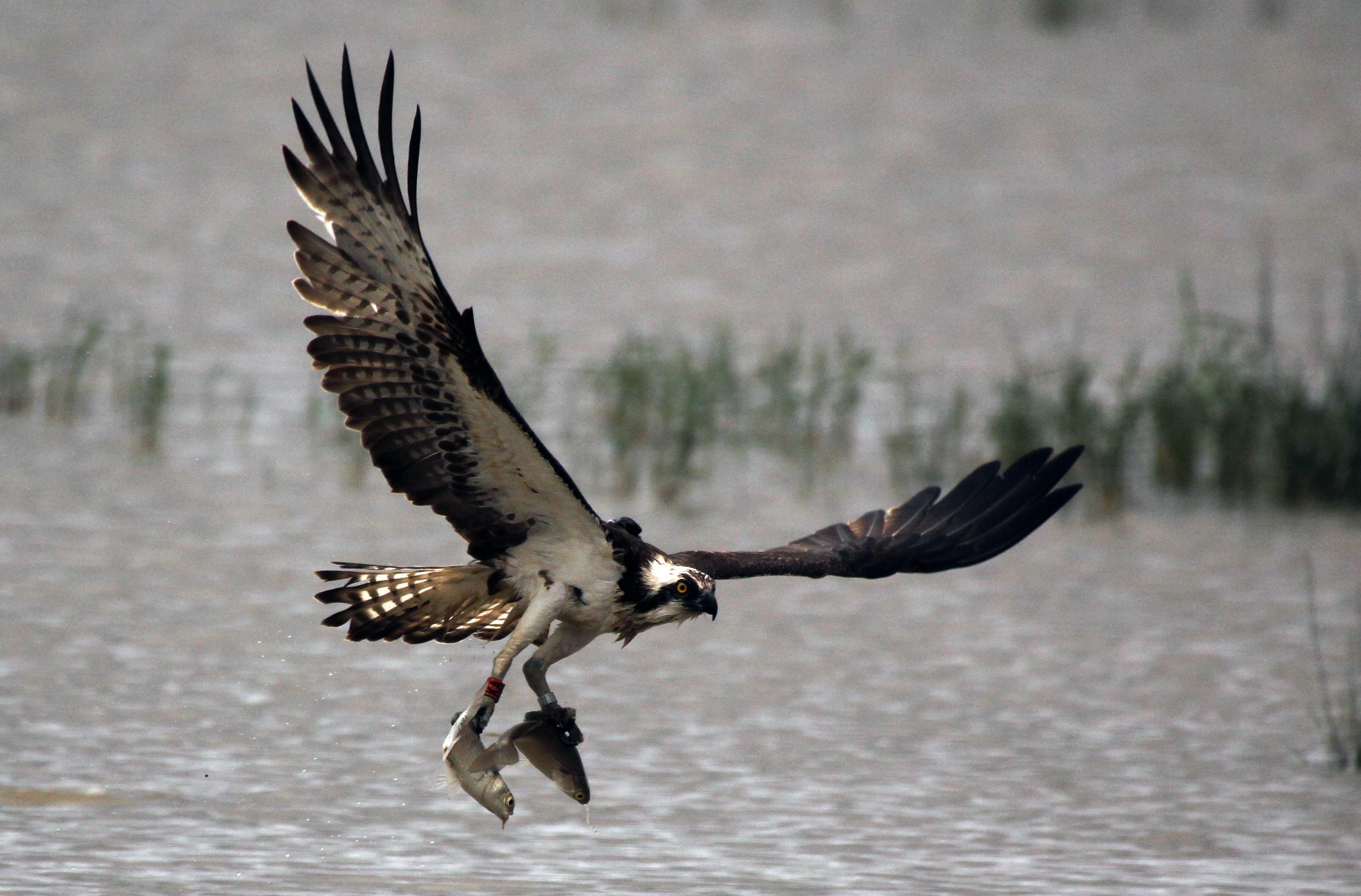 Osprey – Mallorca Bird Watching