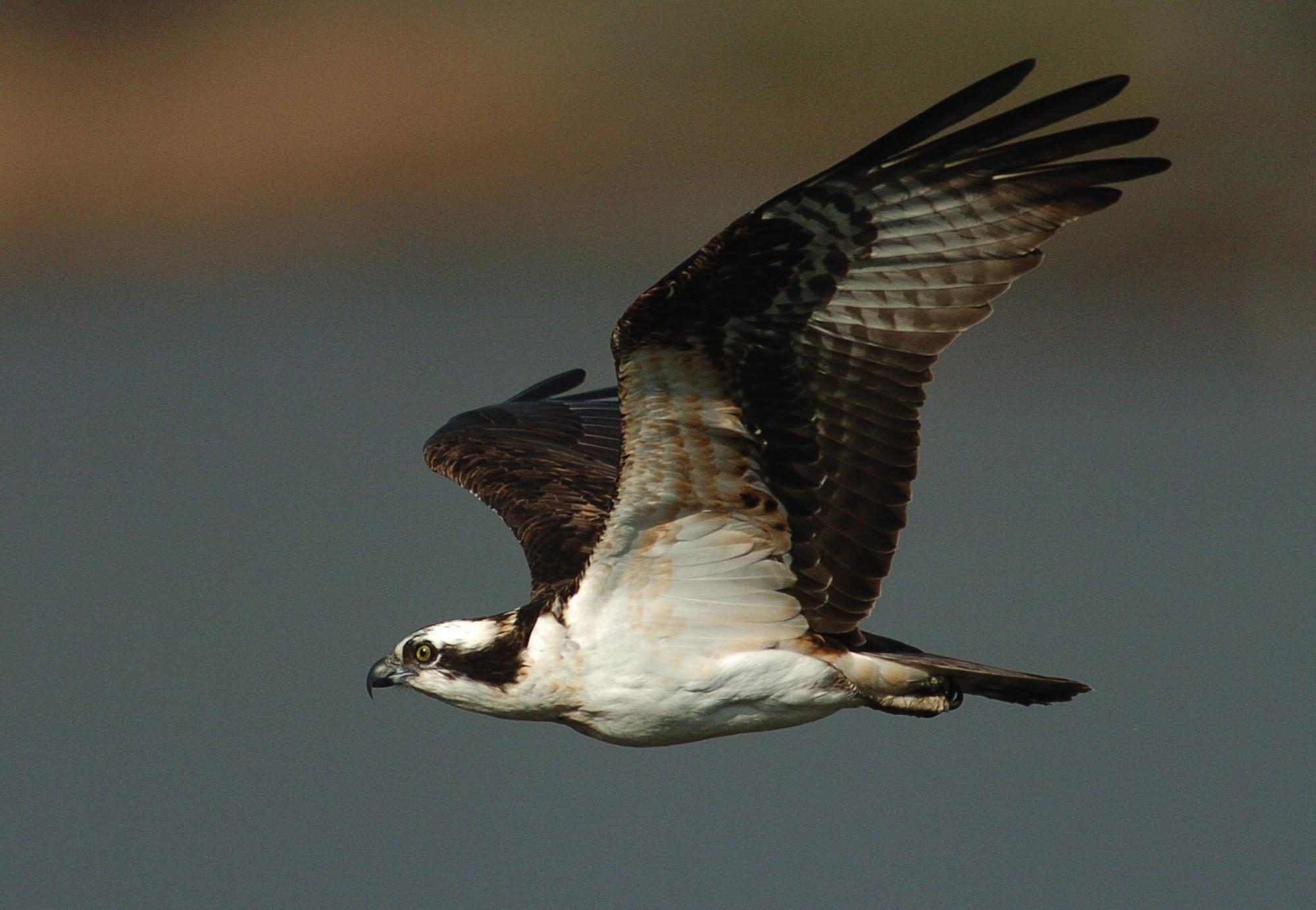 Ospreys 'thriving' in Chesapeake despite lingering toxins, study ...