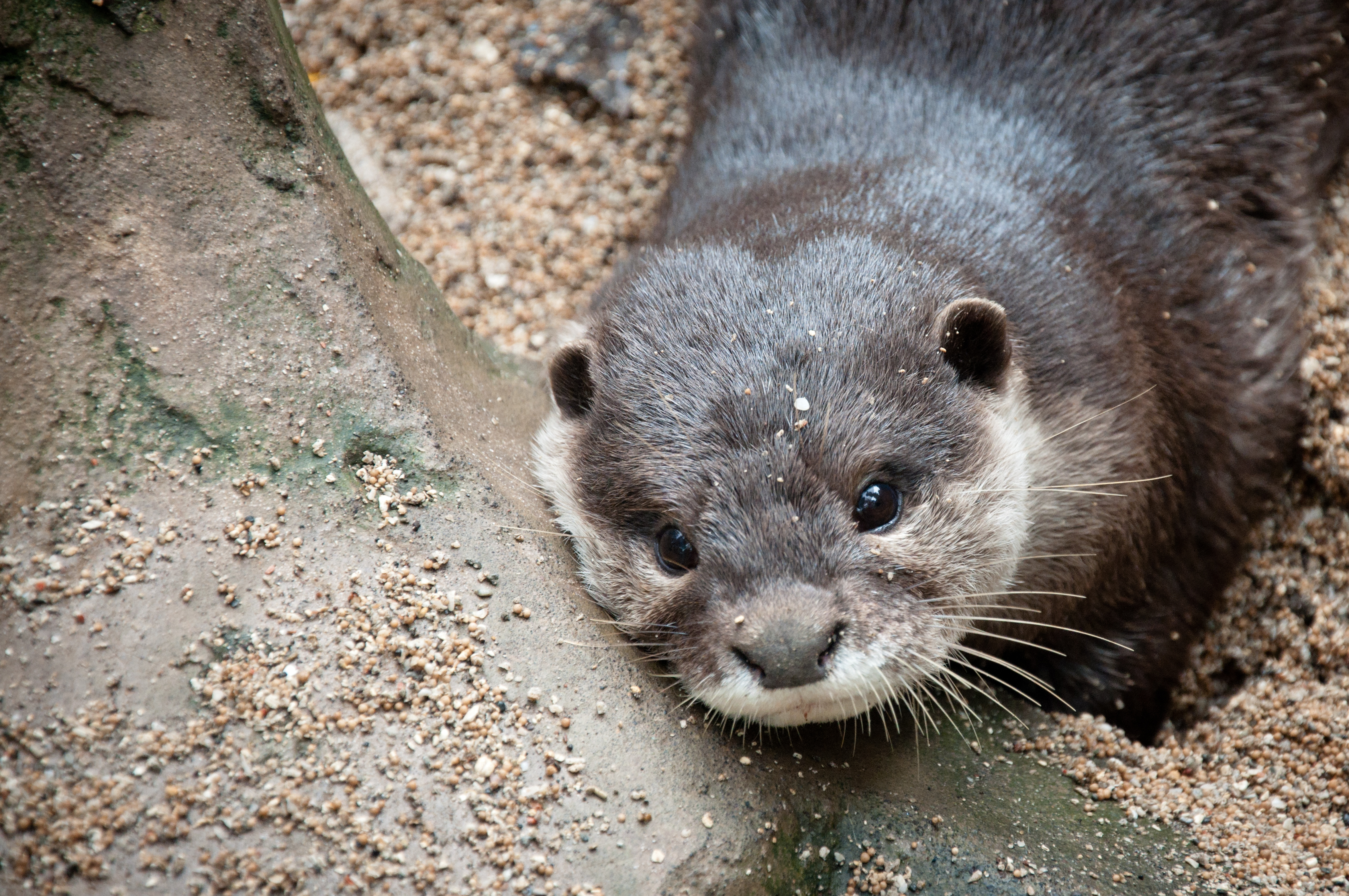 Otter, Animal, Asia, Asian, Curious, HQ Photo