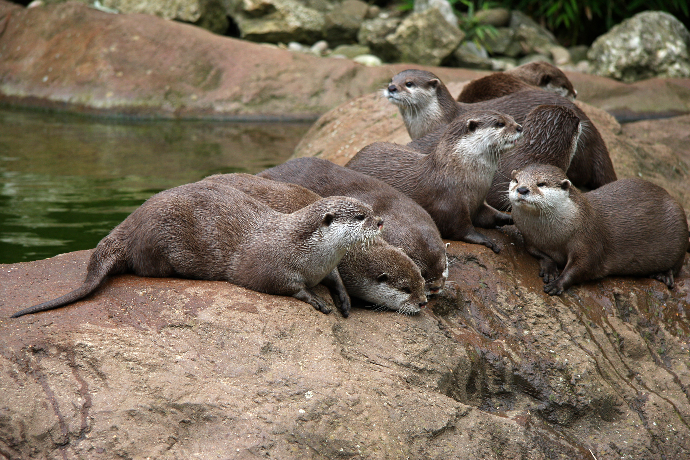 Otters, Animal, Canadian, Feral, Fur, HQ Photo