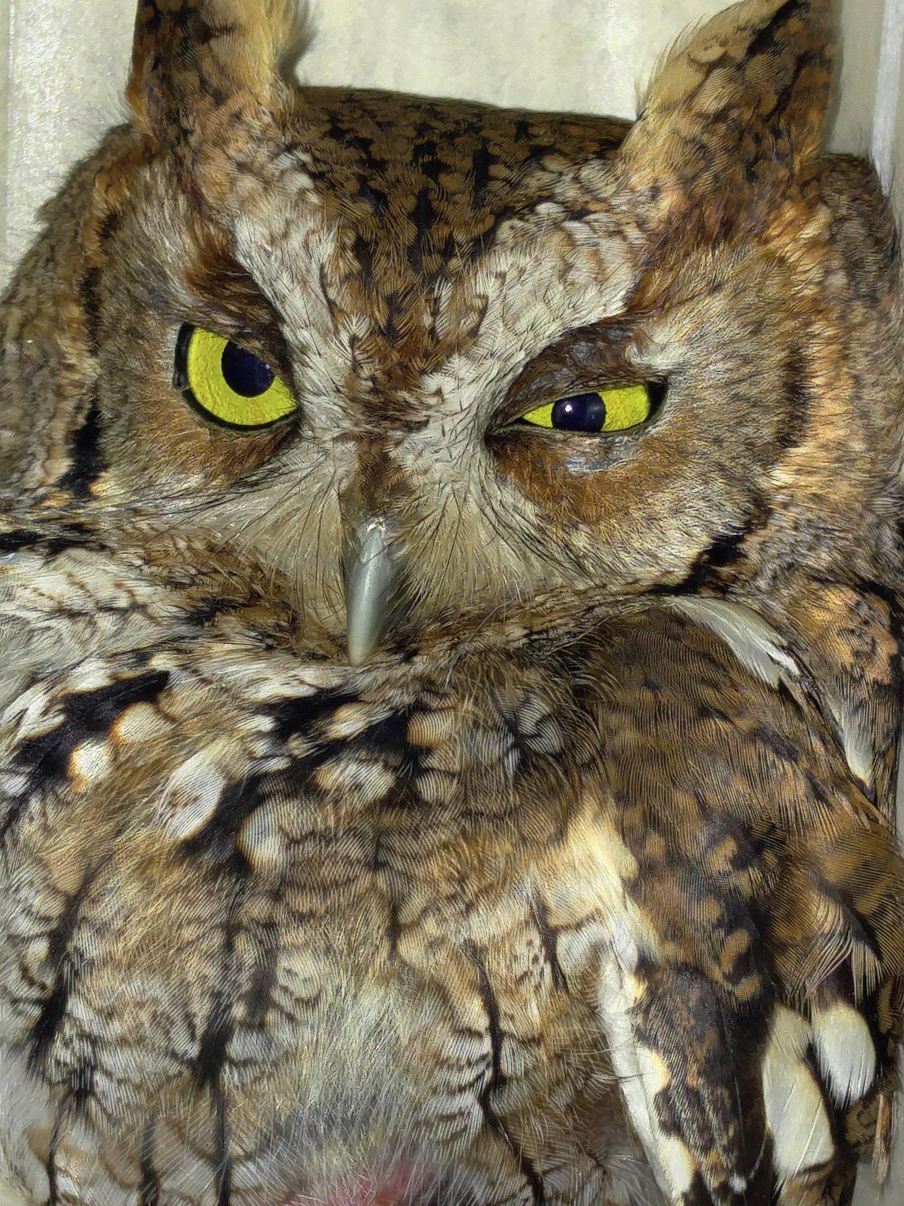 Screech owls photo