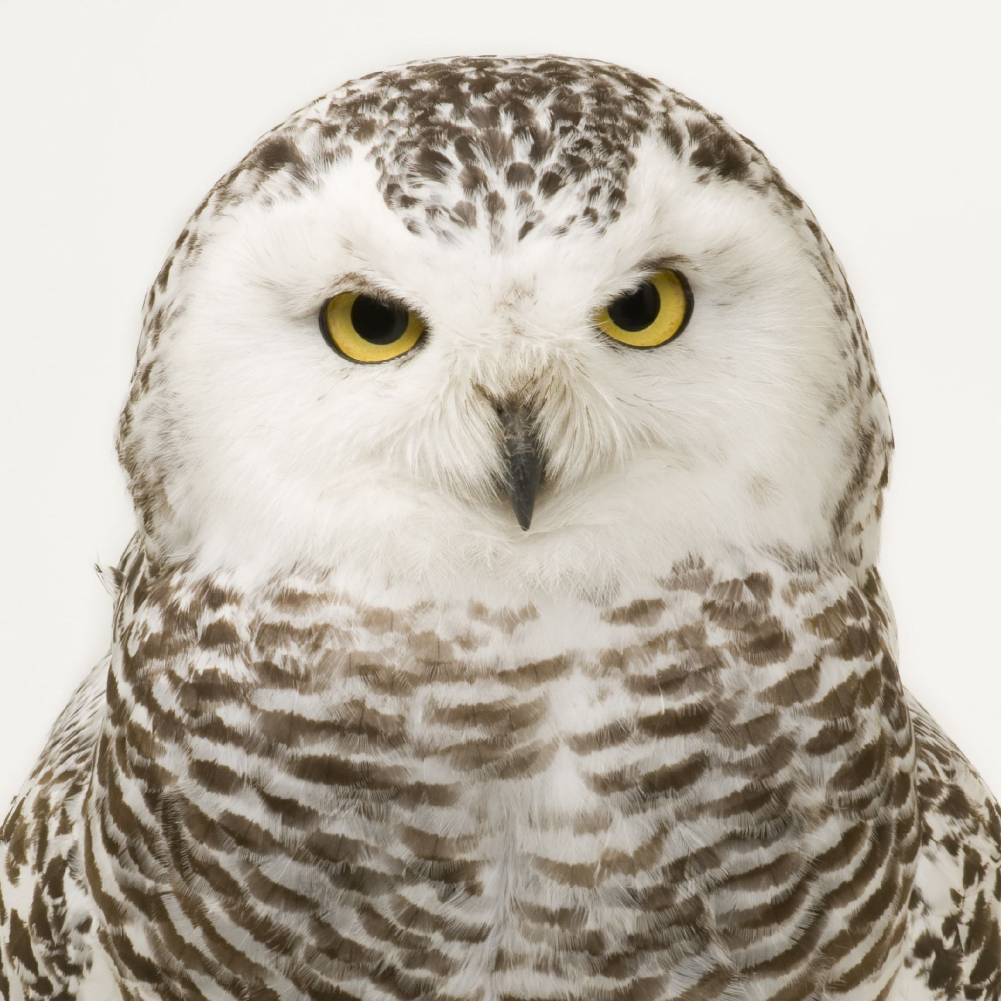 Snowy Owl | National Geographic