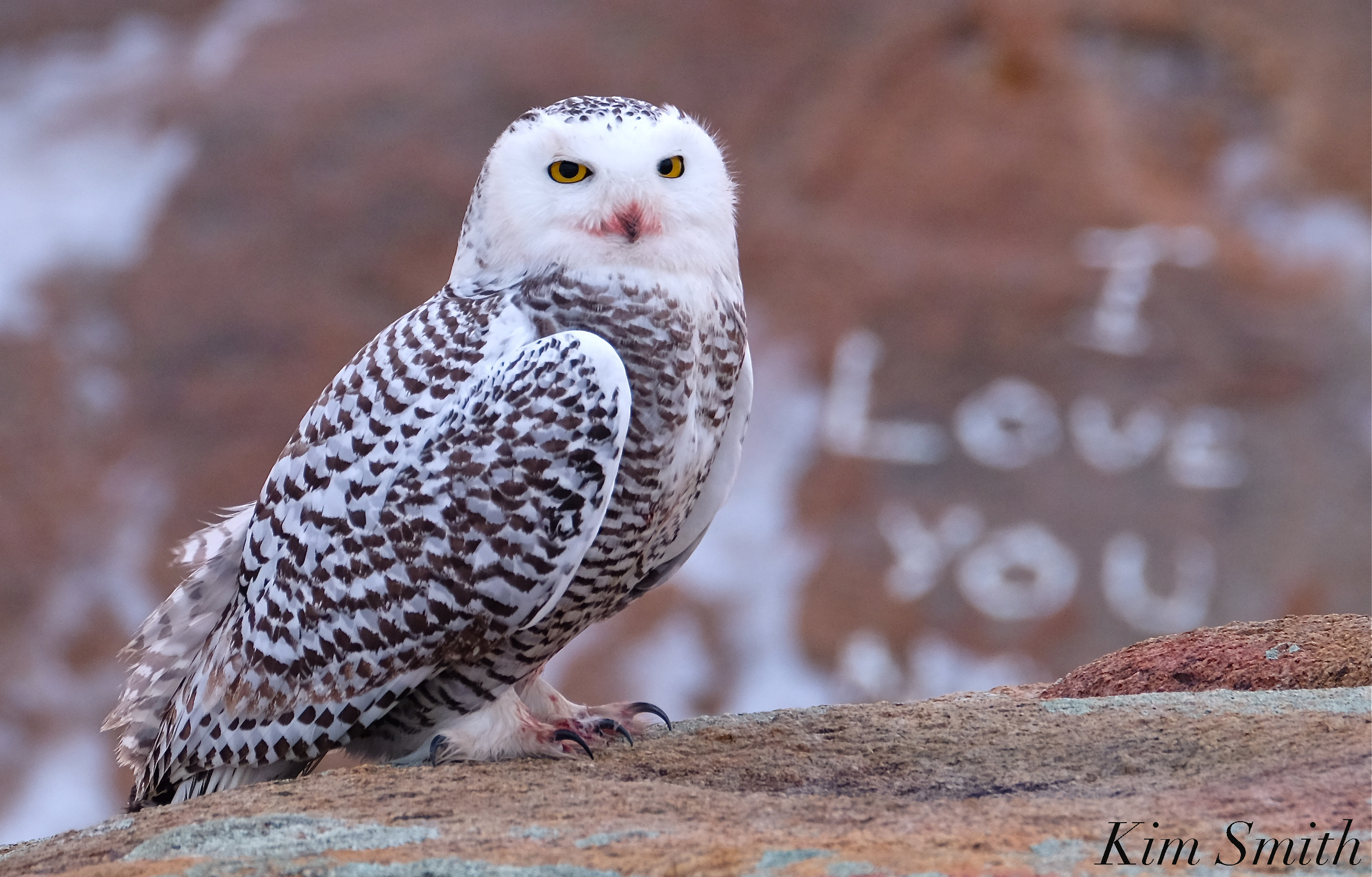 Snowy owl photo