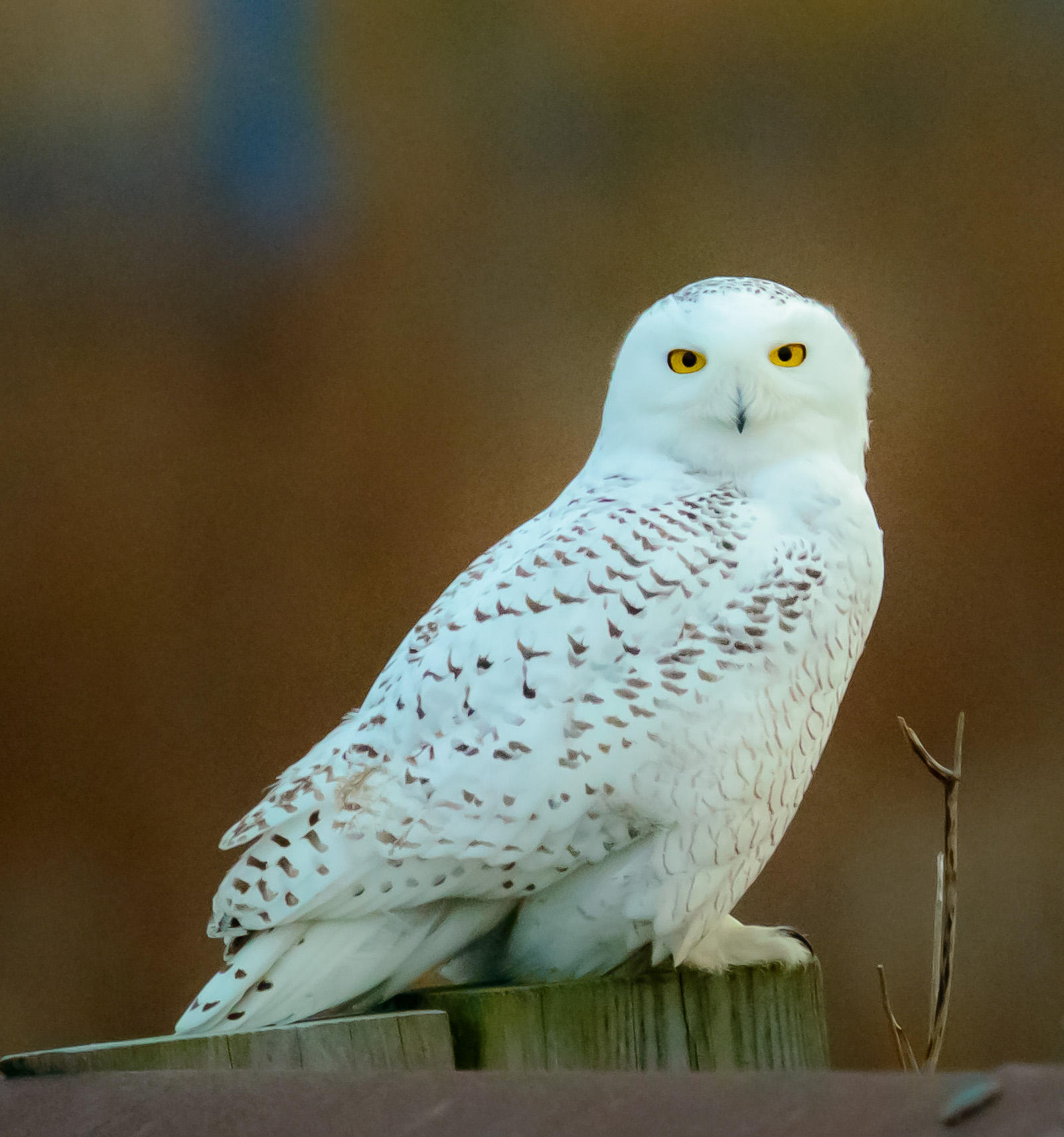 Snowy Owl Sightings Up In RI | Rhode Island Public Radio