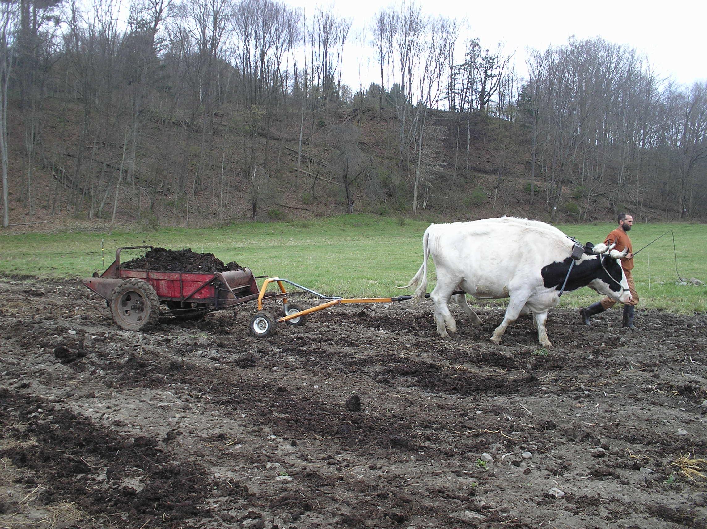 Oxen farm photo