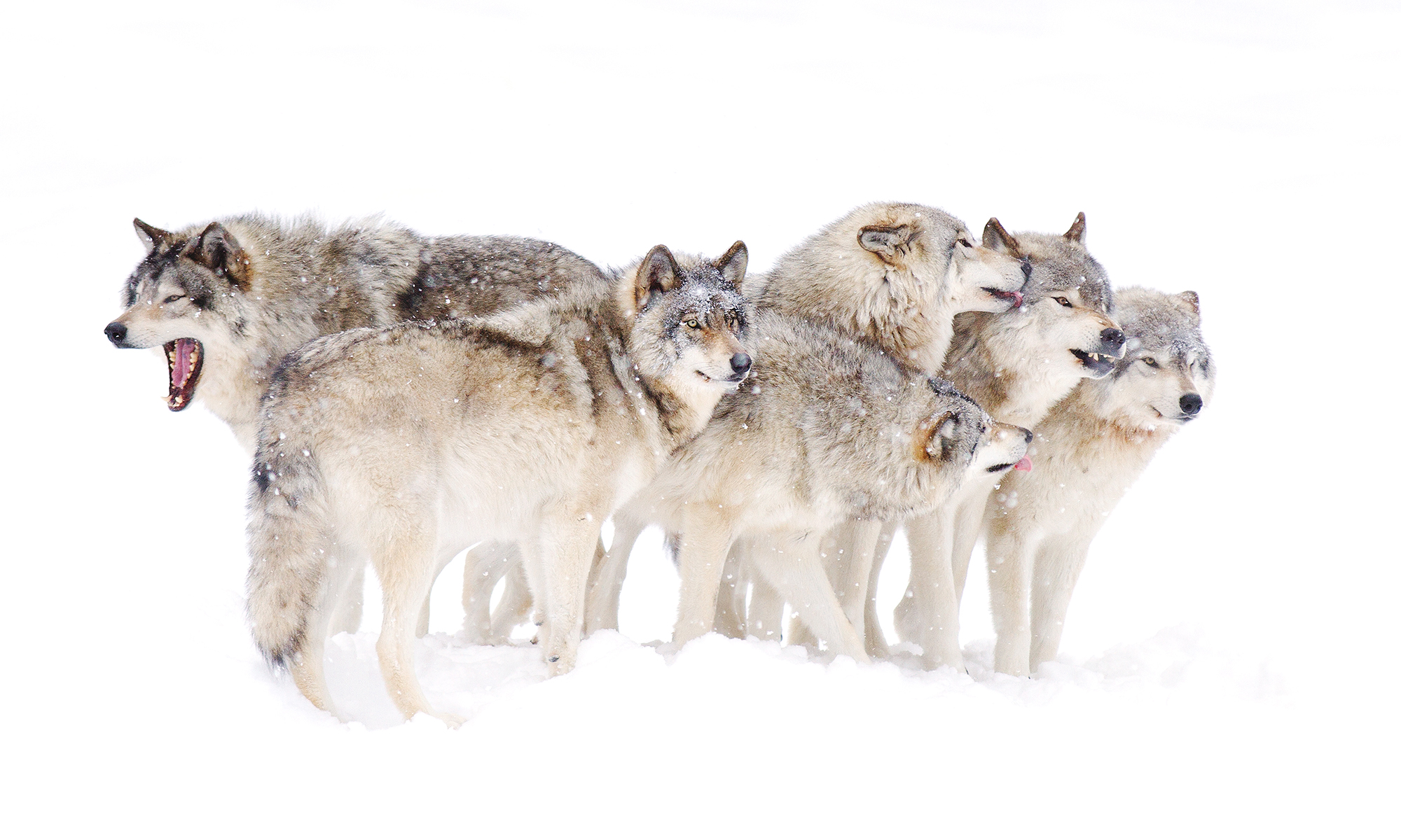 Pack of wolves photo