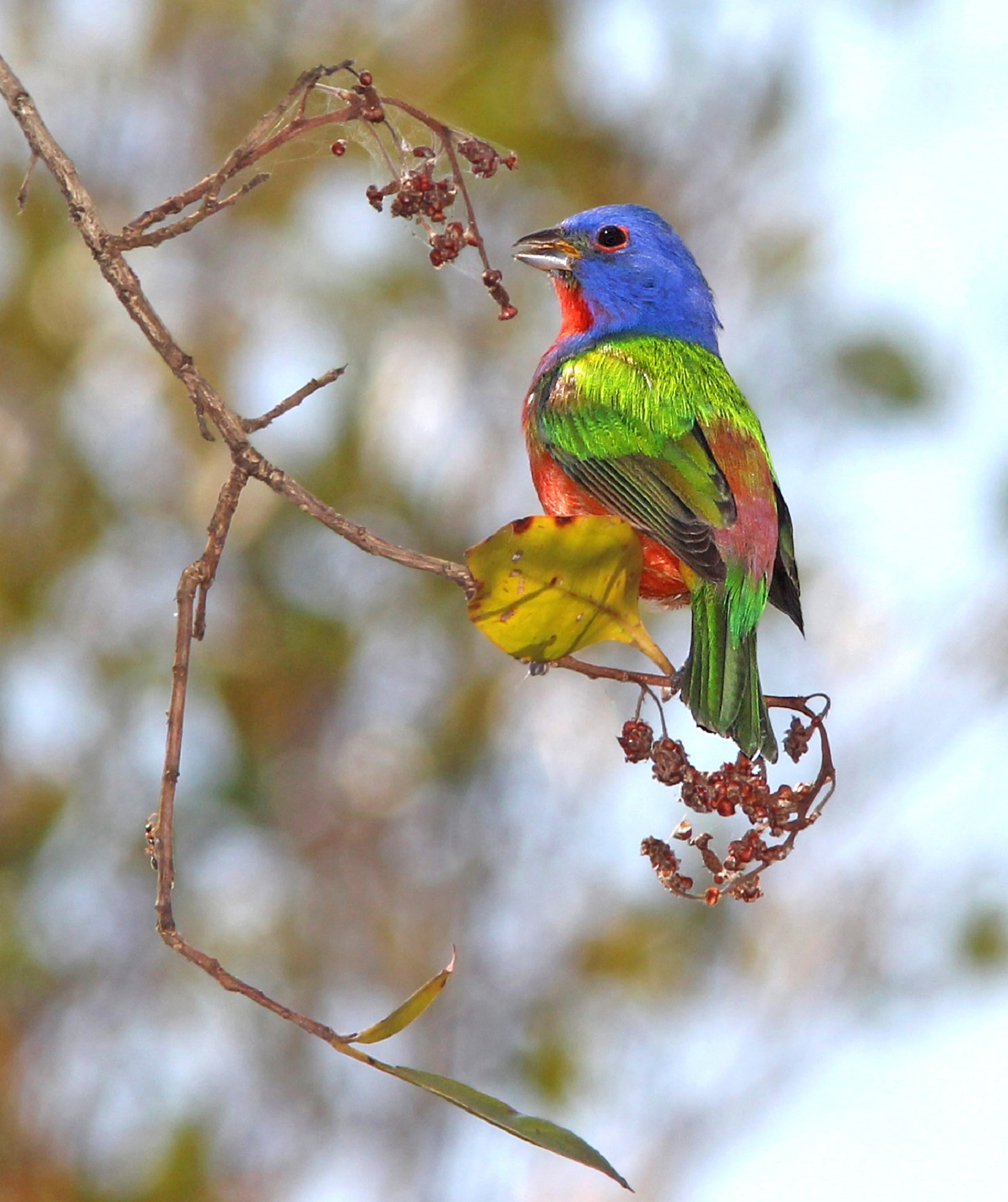 Painted bunting photo