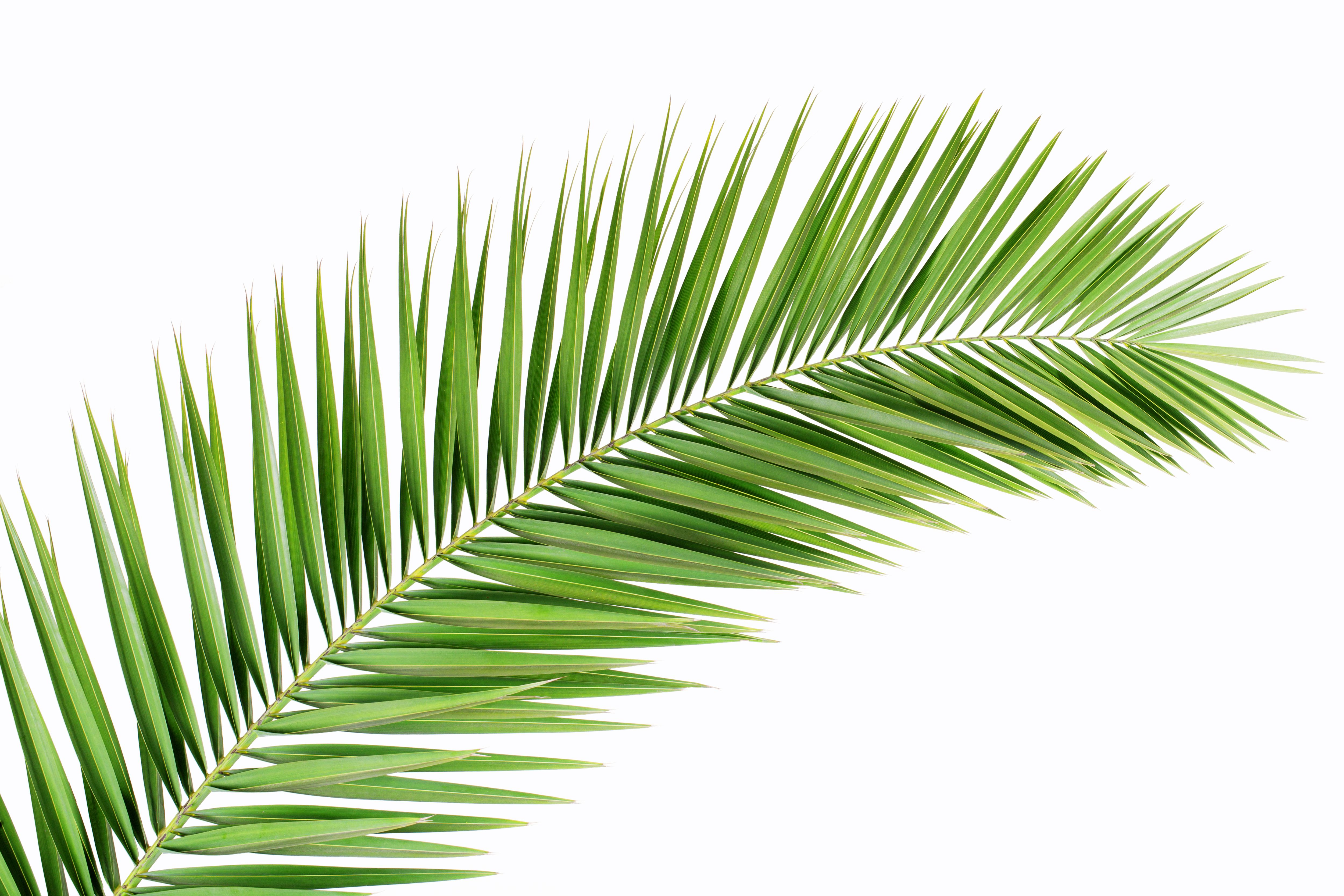 Free photo: Palm leaf - Green, Leaf, Palm - Free Download ...