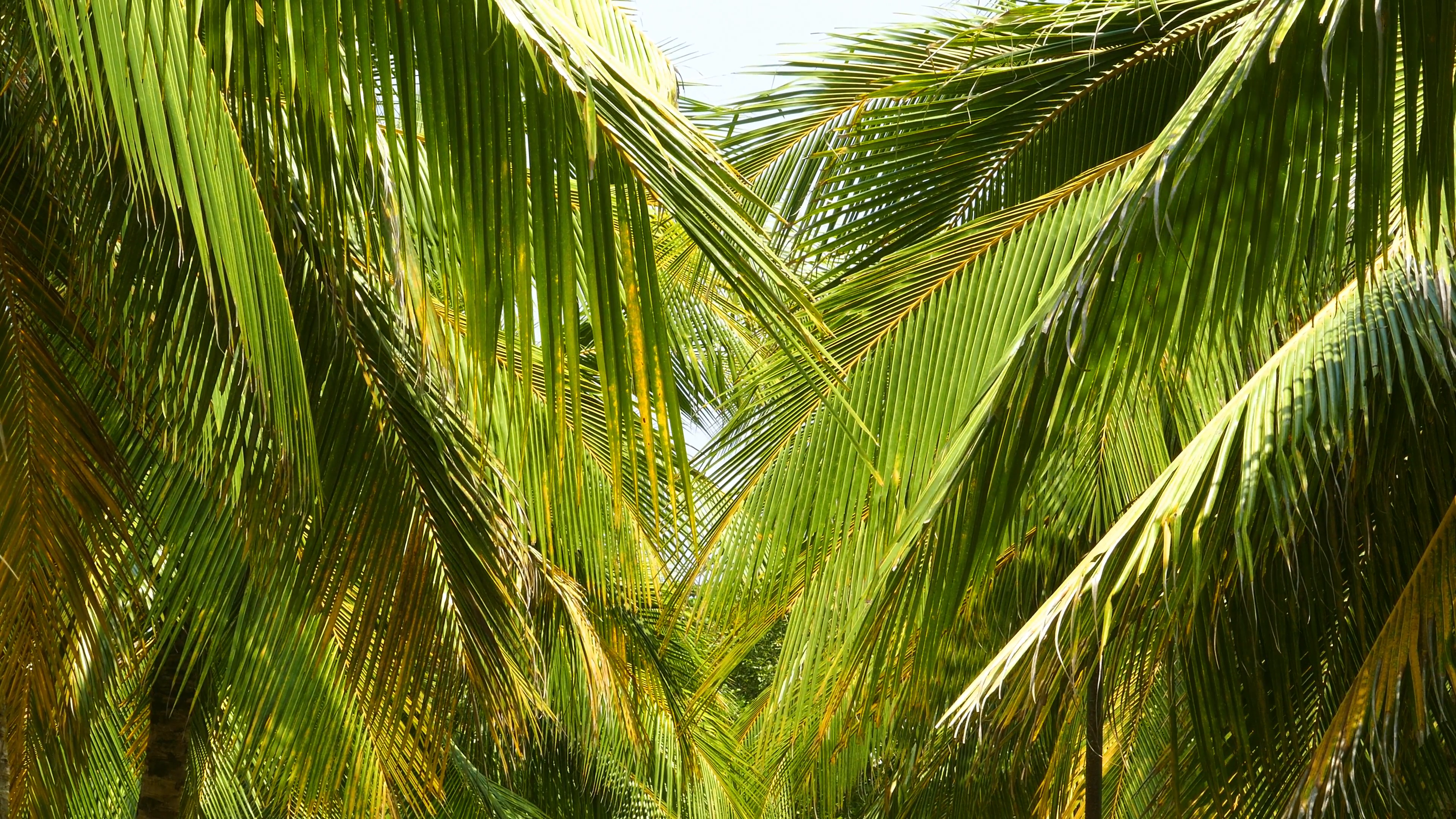 coconut palm leaves 4k Stock Video Footage - Videoblocks