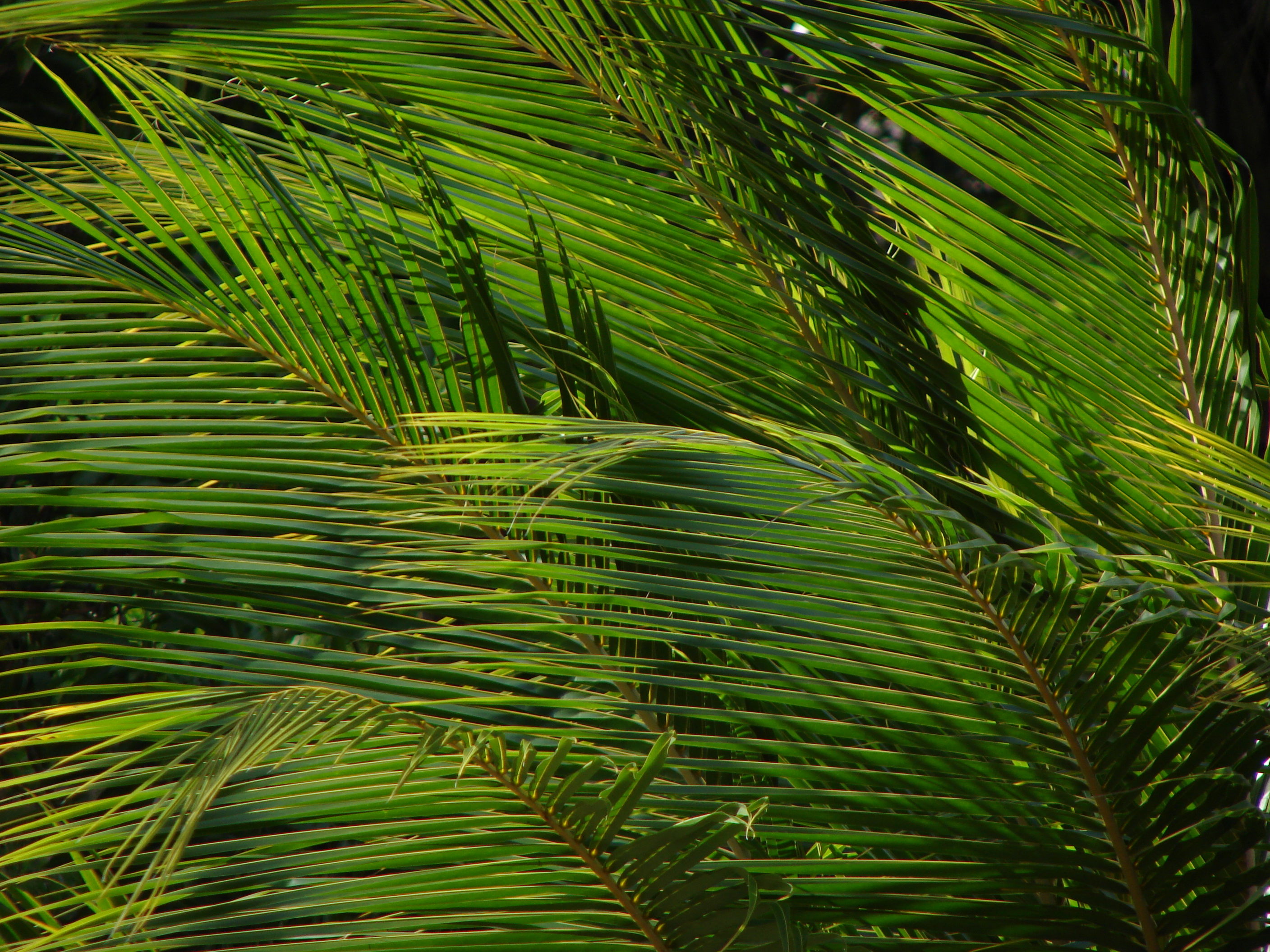 Palm Leaves, Palm, Plant, Nature, Tree, HQ Photo