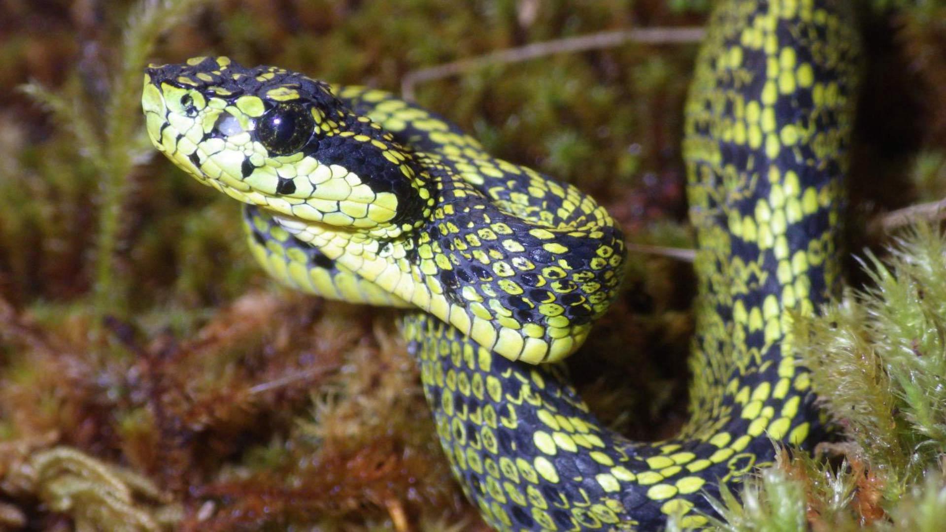 Talamancan Palm-Pitviper: Cryptic New Species of Venomous Snake ...