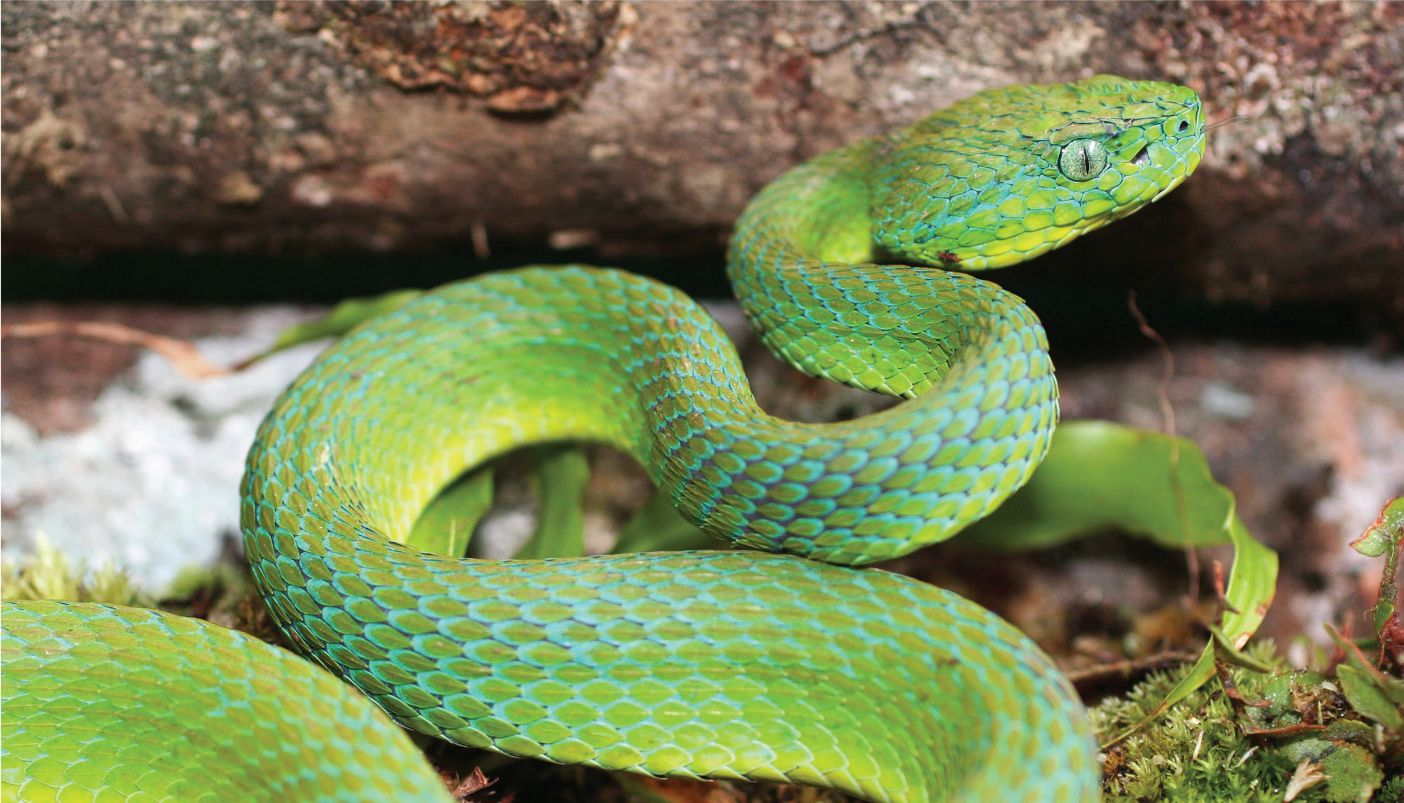 When green means danger: A stunning new species of palm-pitviper ...