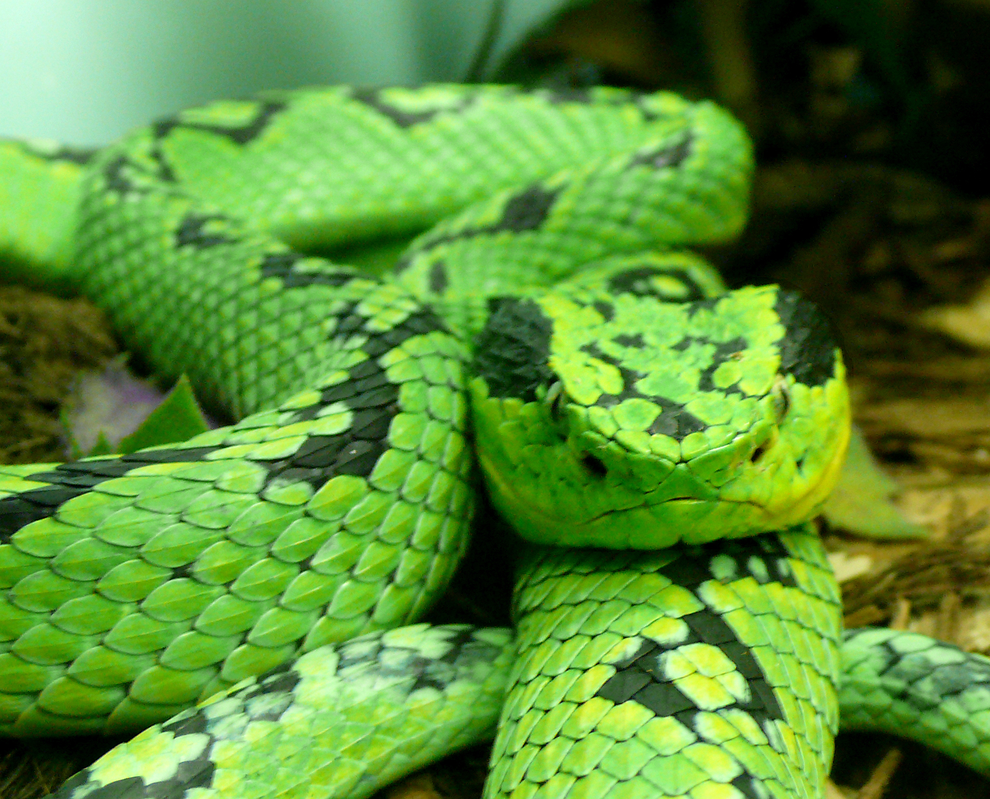 Bothriechis aurifer - Yellow Blotched Palm Pit Viper | REPTILES ...