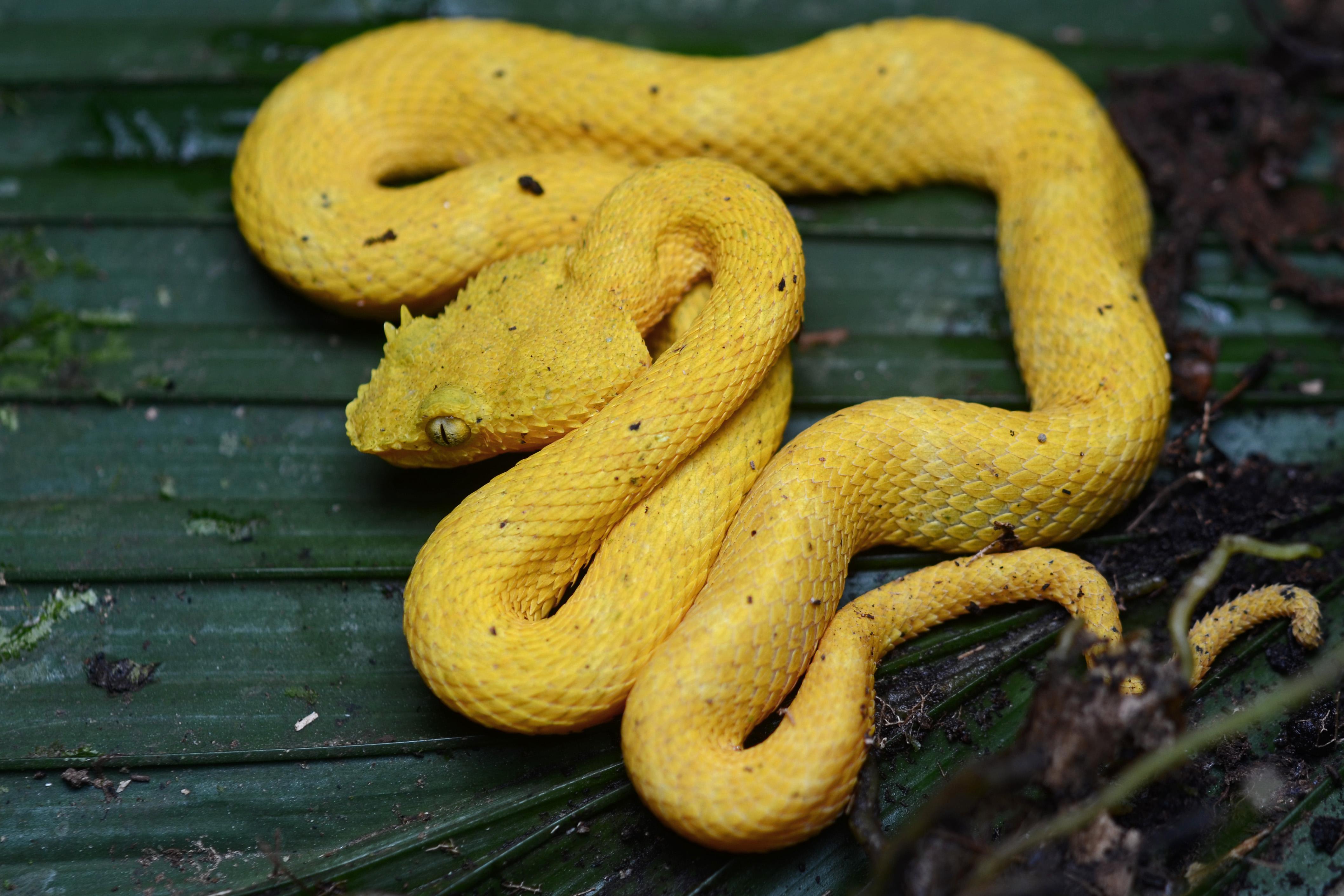 File:Flickr - ggallice - Eyelash palm-pitviper.jpg - Wikimedia Commons